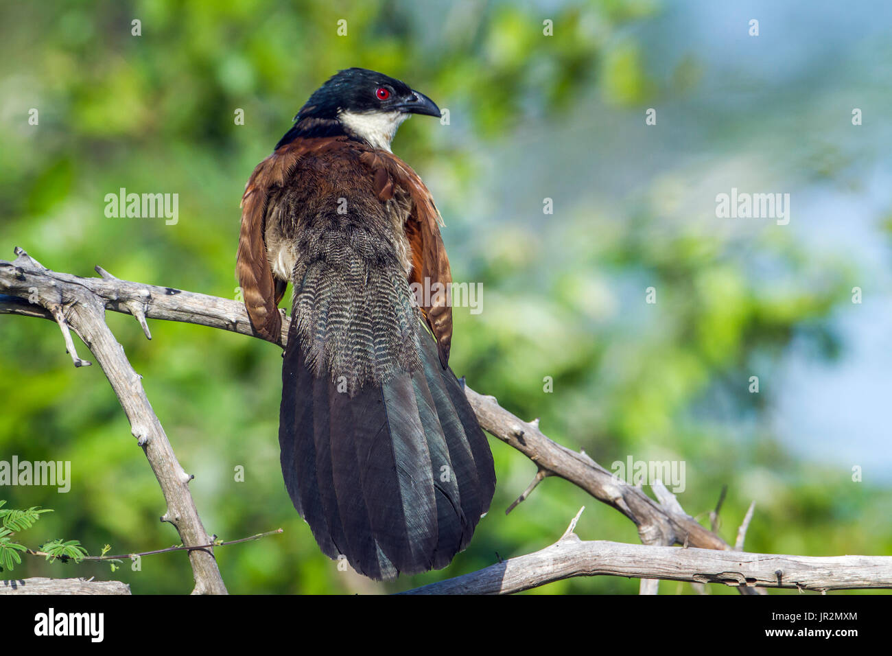 Burchell Coucal (Centropus superciliosus) on a branch, Kruger National park, South Africa - Stock Image