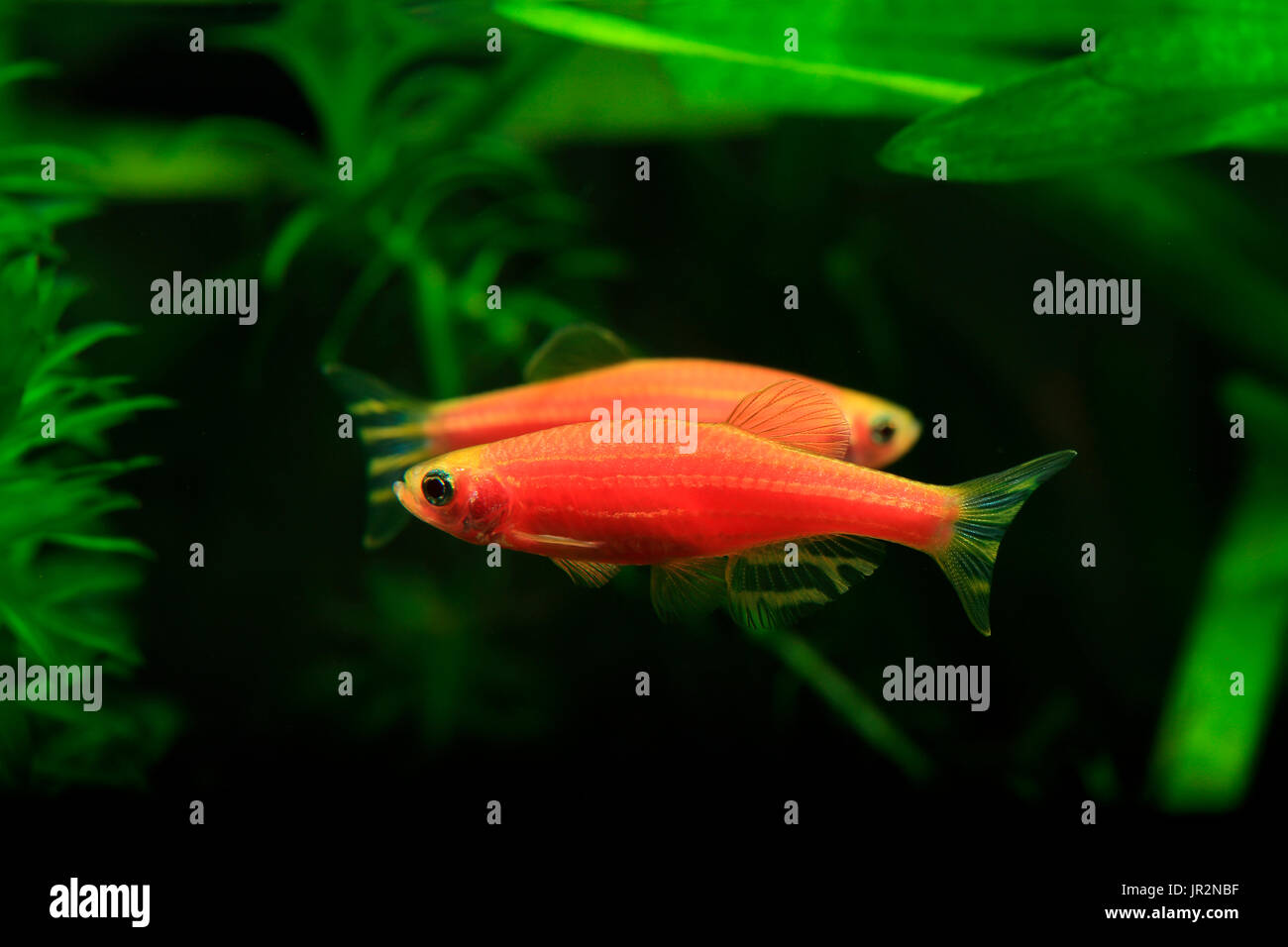 Zebrafish GloFish, genetically modified fluorescent fish Stock Photo