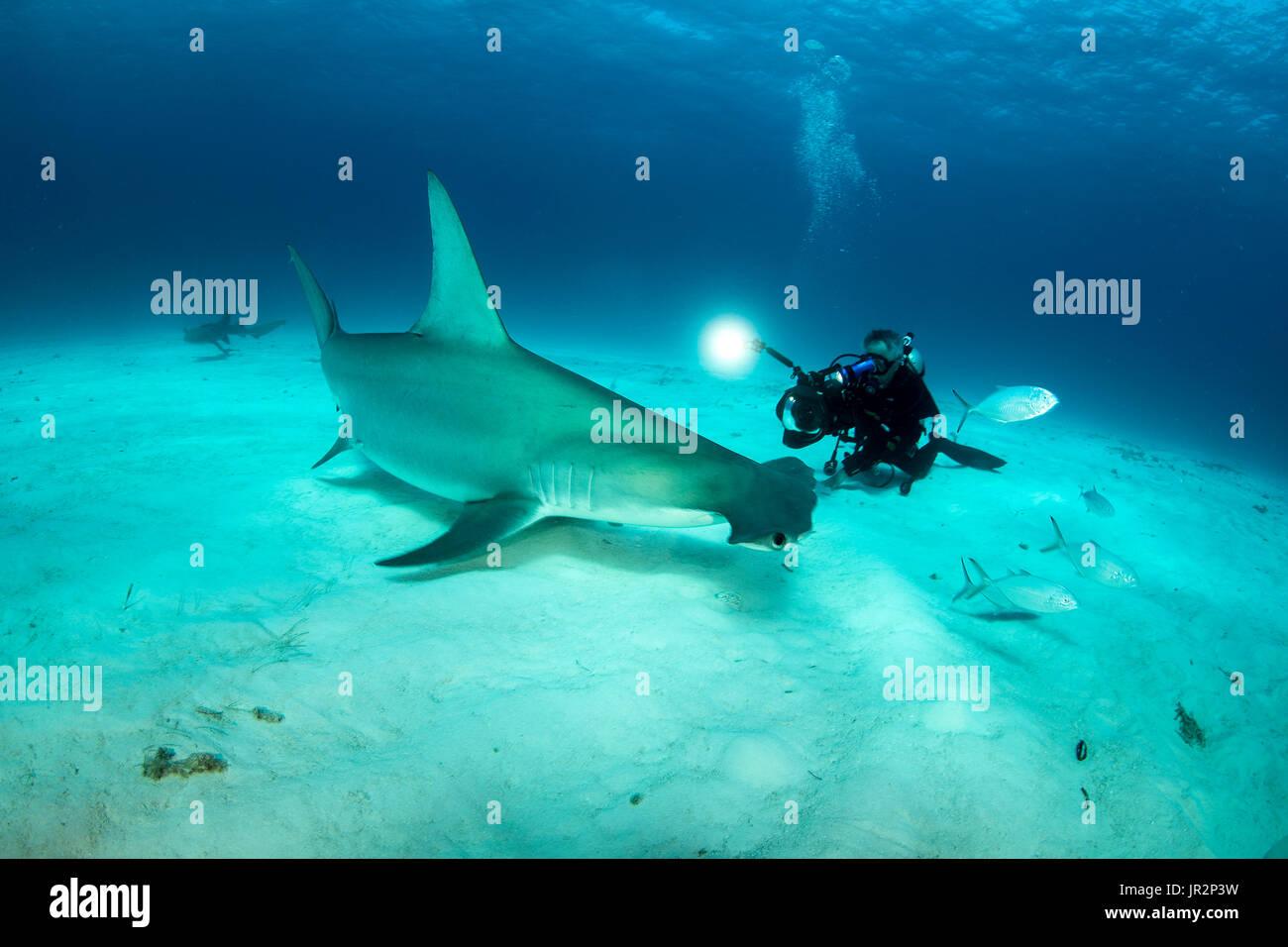 c532e89f1a Scuba diver is filming a Great hammerhead shark (Sphyrna mokarran) swimming  over a sandy