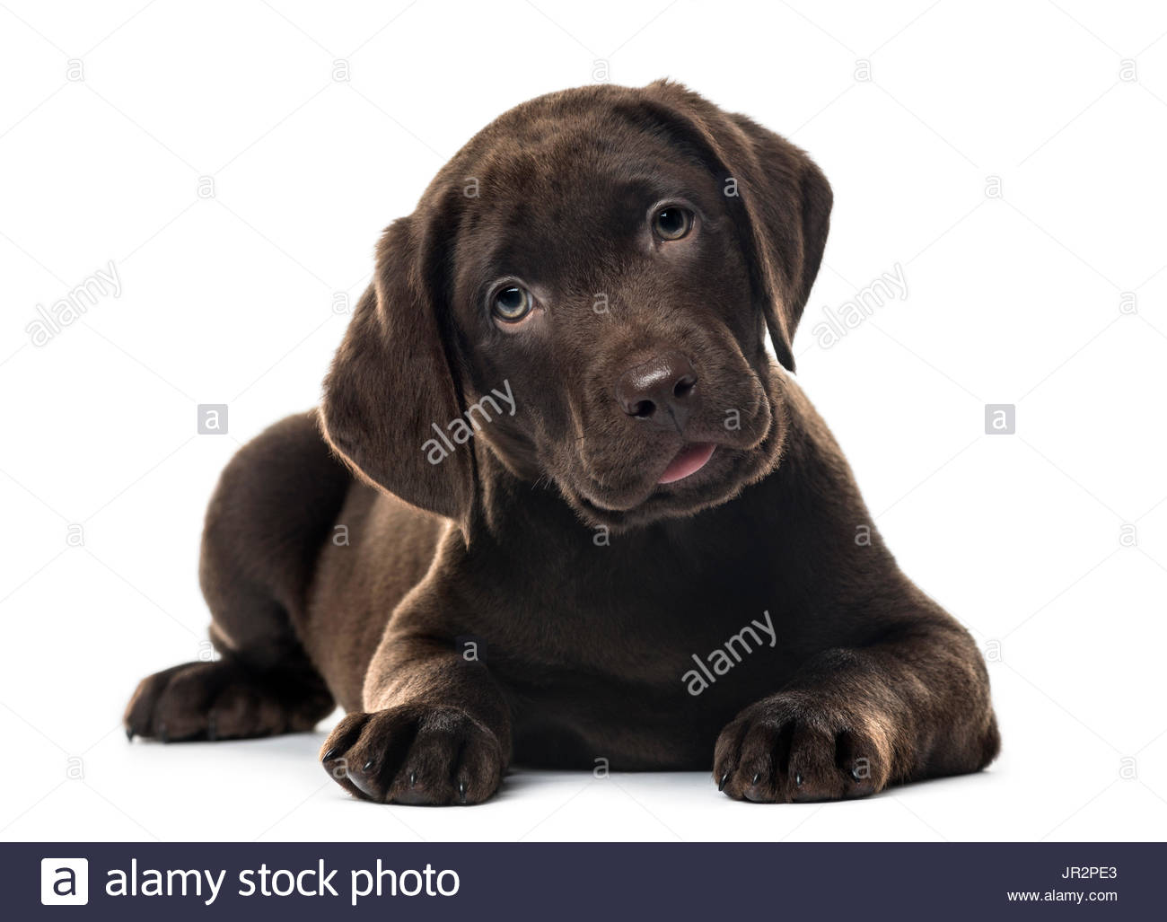 Puppy chocolate Labrador Retriever lying, 3 months old , isolated on white - Stock Image