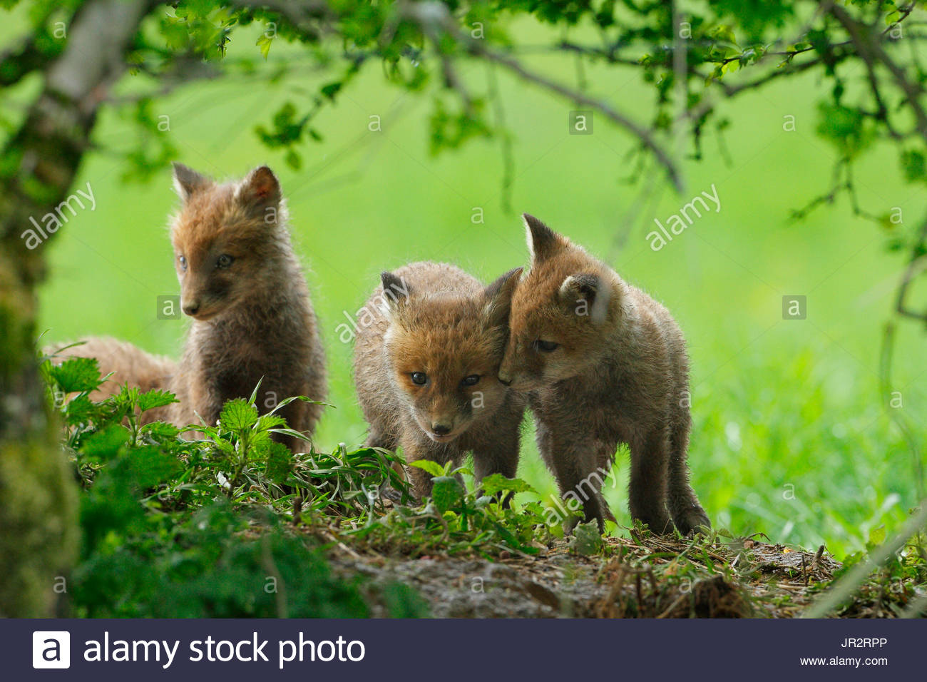 Red fox (Vulpes vulpes) young at the exit of the burrow in meadow under a hedge, Ardenne, Belgium - Stock Image