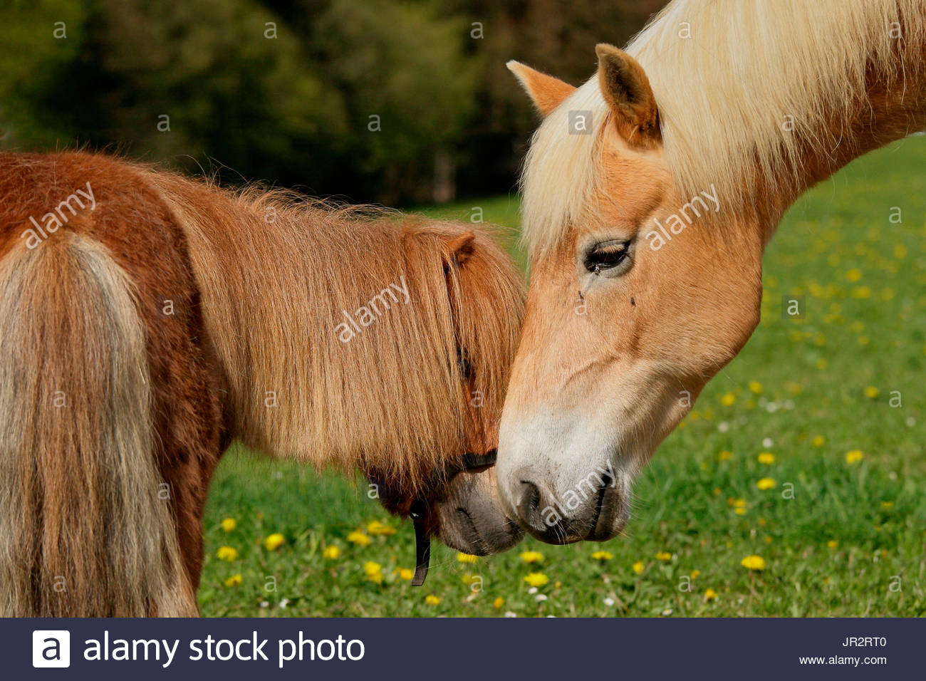 Shetland pony and Haflinger poney in the meadow - Stock Image