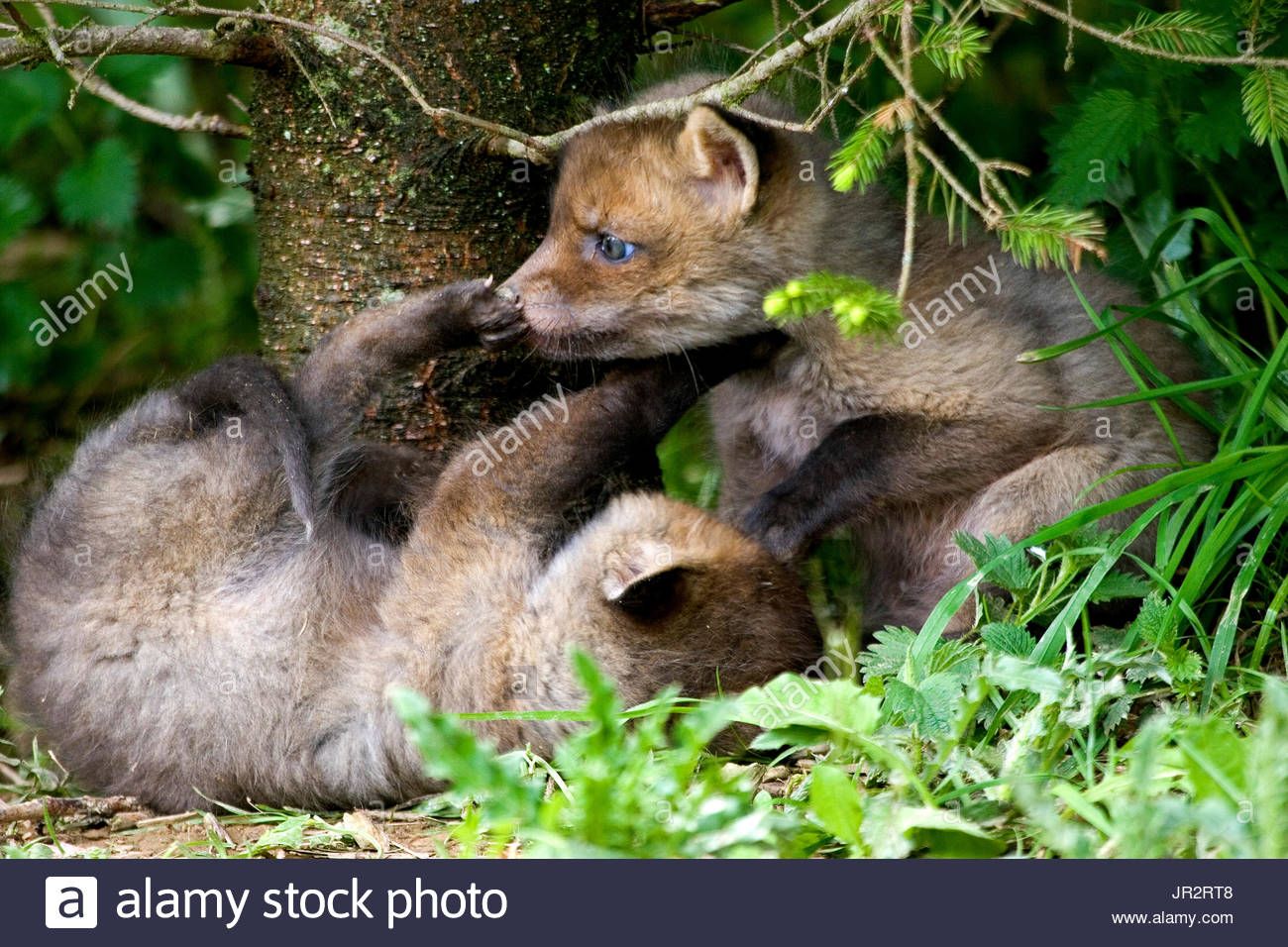 Red fox (Vulpes vulpes) young at the exit of the burrow in a spruce forest, Ardenne, Belgium - Stock Image