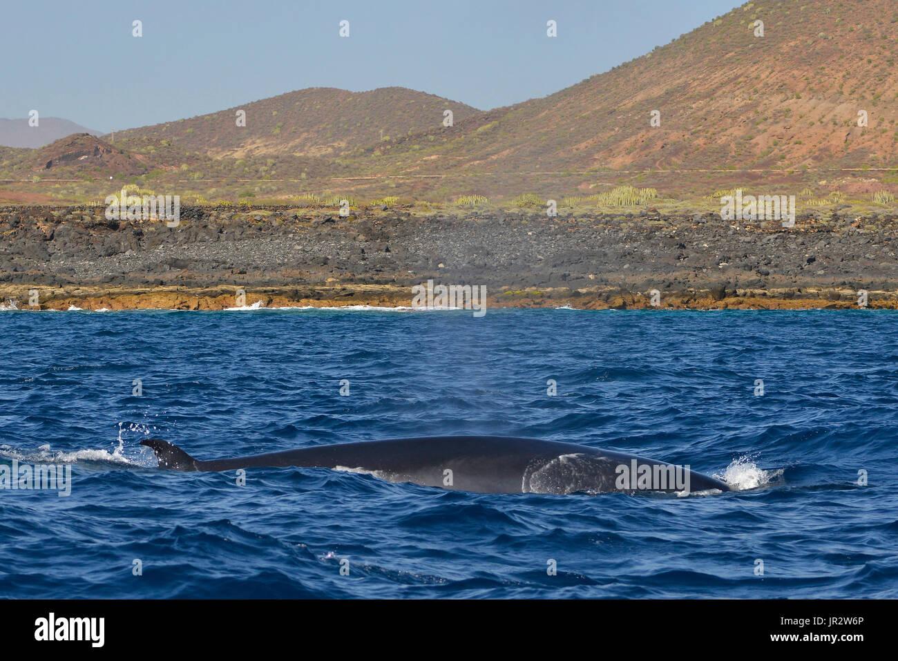 Bryde's whale (Balaenoptera brydei, edeni), Coast of Punta Rasca, Tenerife, Canary Islands. - Stock Image