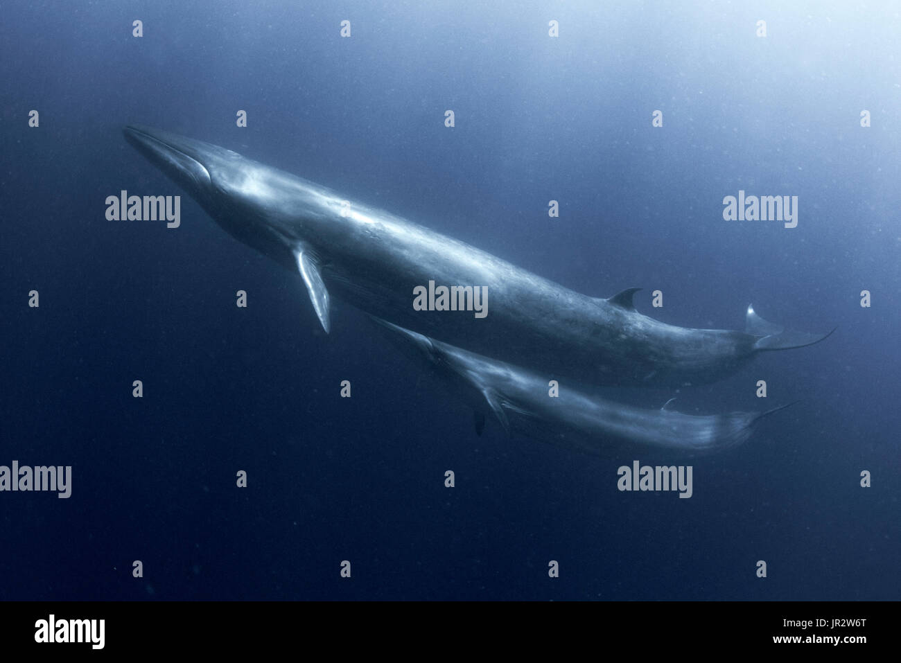 Bryde's whale (Balaenoptera brydei, edeni), Mother and whale breeding, Tenerife, Canary Islands - Stock Image