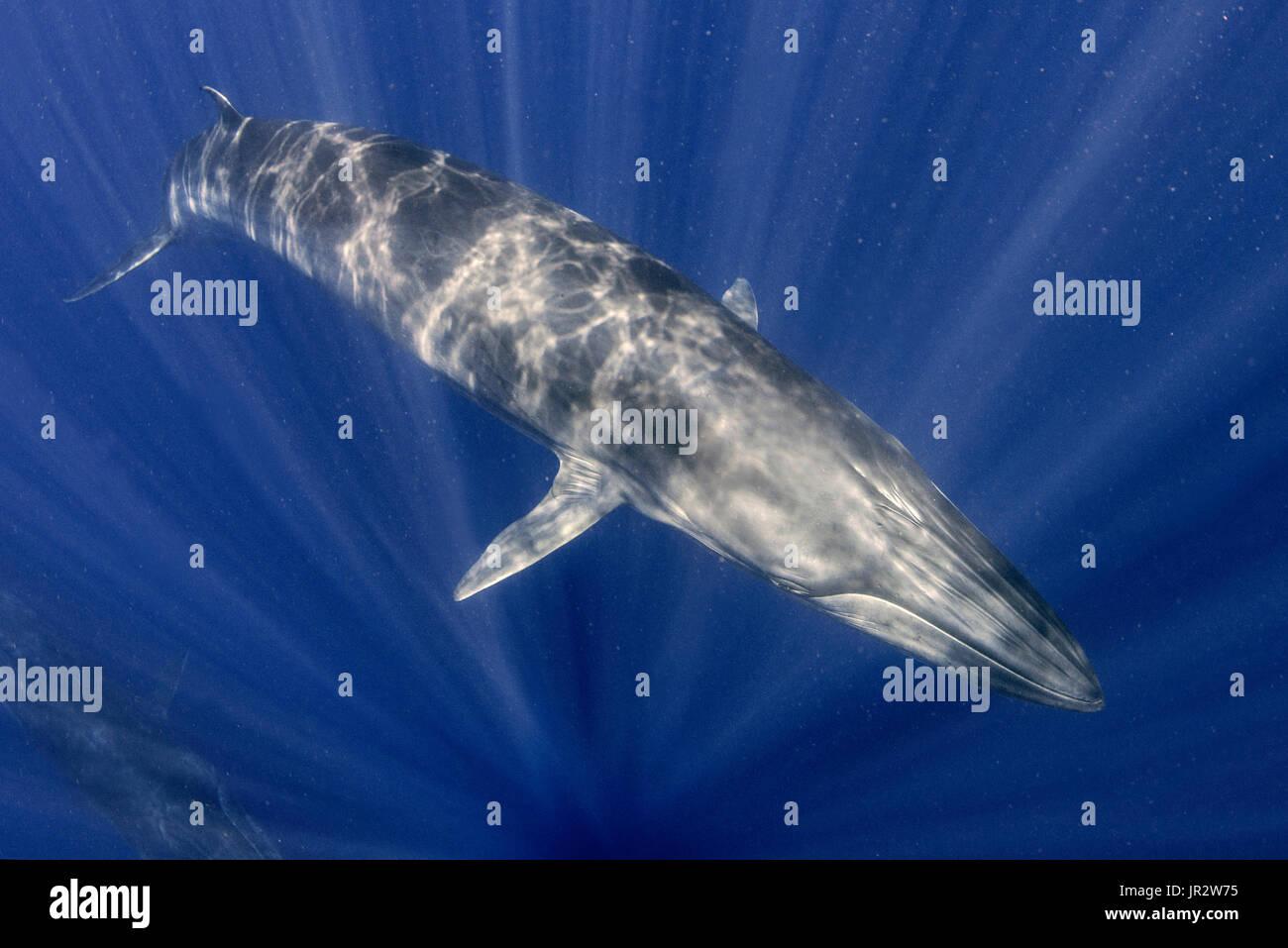 Bryde's whale (Balaenoptera brydei, edeni), Tenerife, Canary Islands - Stock Image