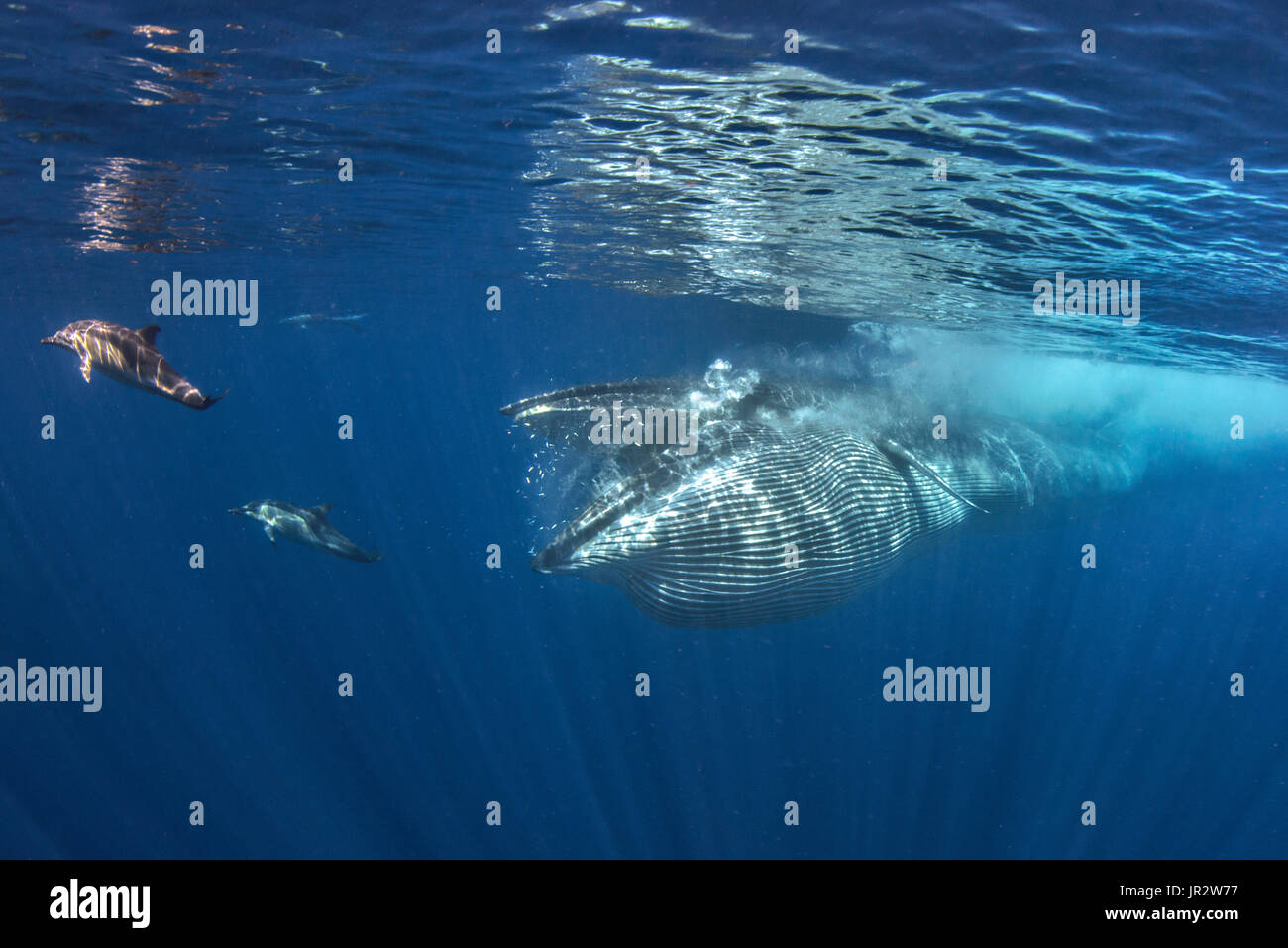 Bryde's whale (Balaenoptera brydei, edeni), Whale eating, Tenerife, Canary Islands. - Stock Image