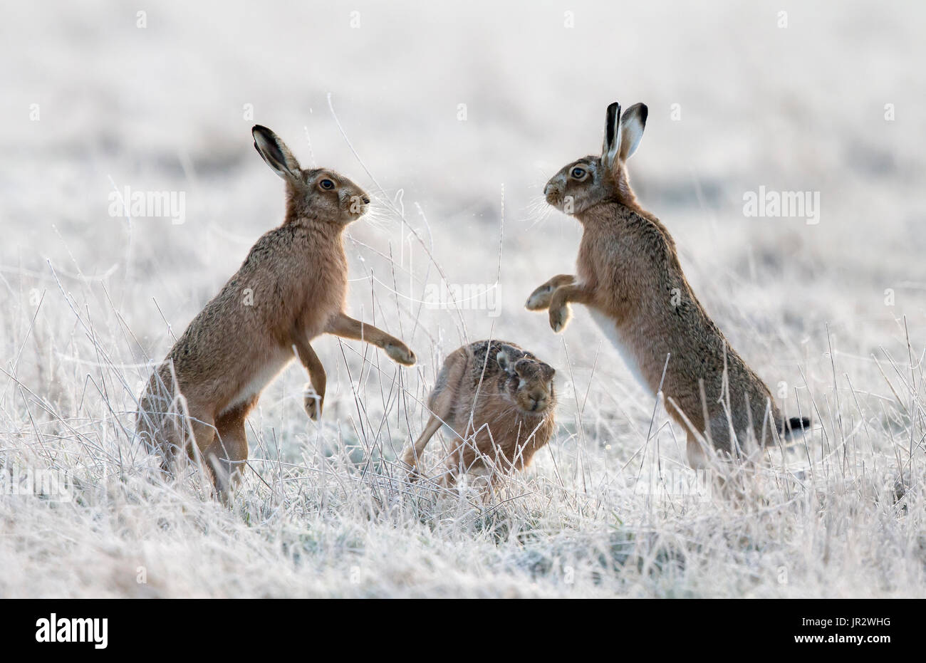 Brown Hares boxing in a frozen meadow at spring - GB - Stock Image