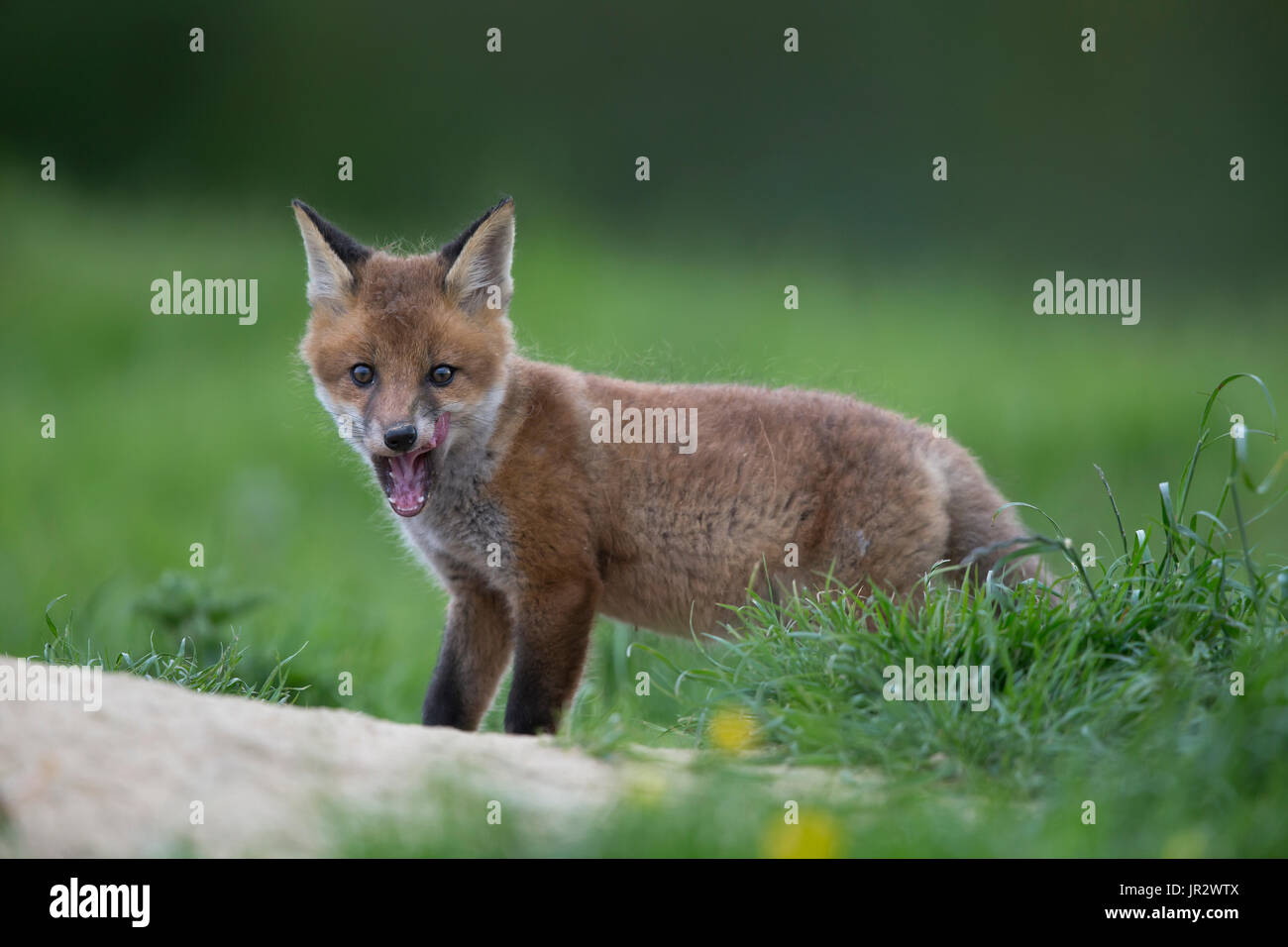 Cub Red Fox in a meadow at spring - GB - Stock Image