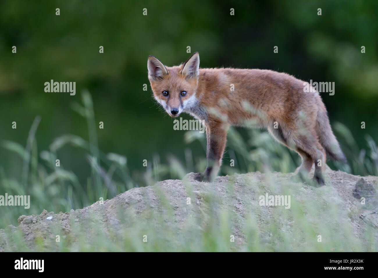 Cub Red Fox standing in a meadow at spring - GB Stock Photo