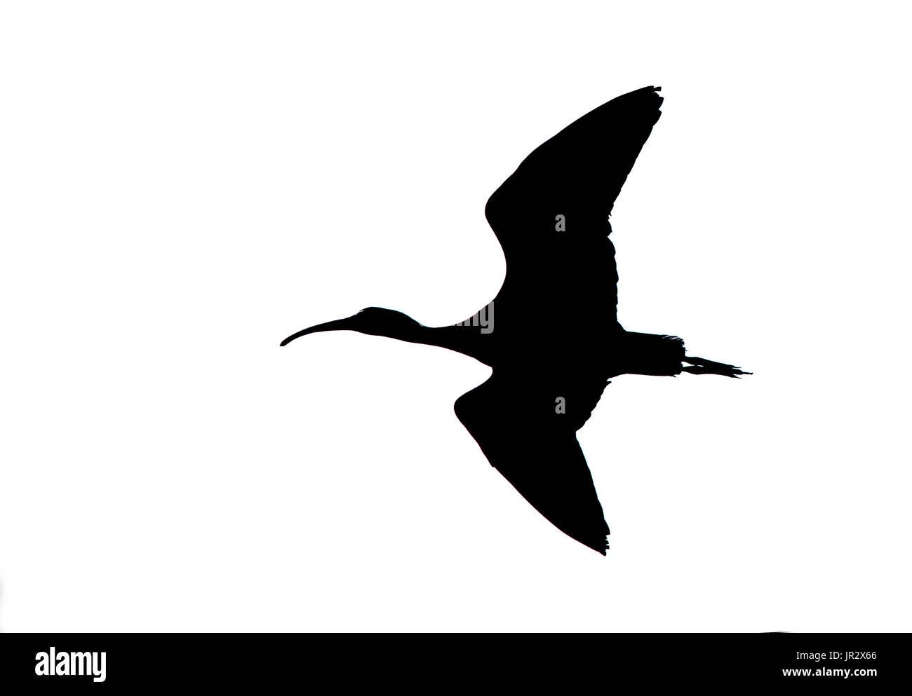 Spoonbill in flight at spring - Camargue France - Stock Image