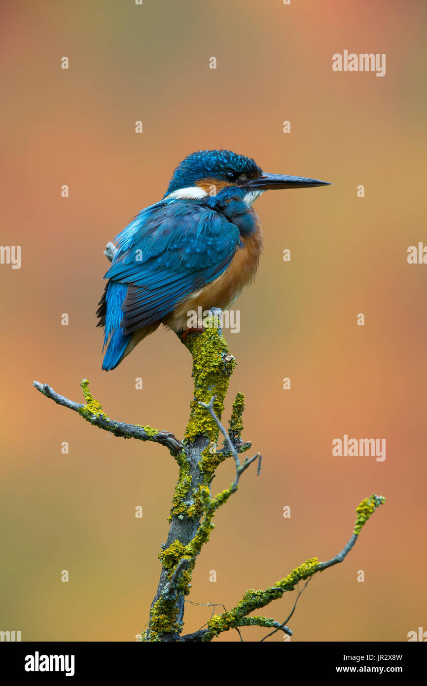 Male Common Kingfisher perched in summer - GB - Stock Image