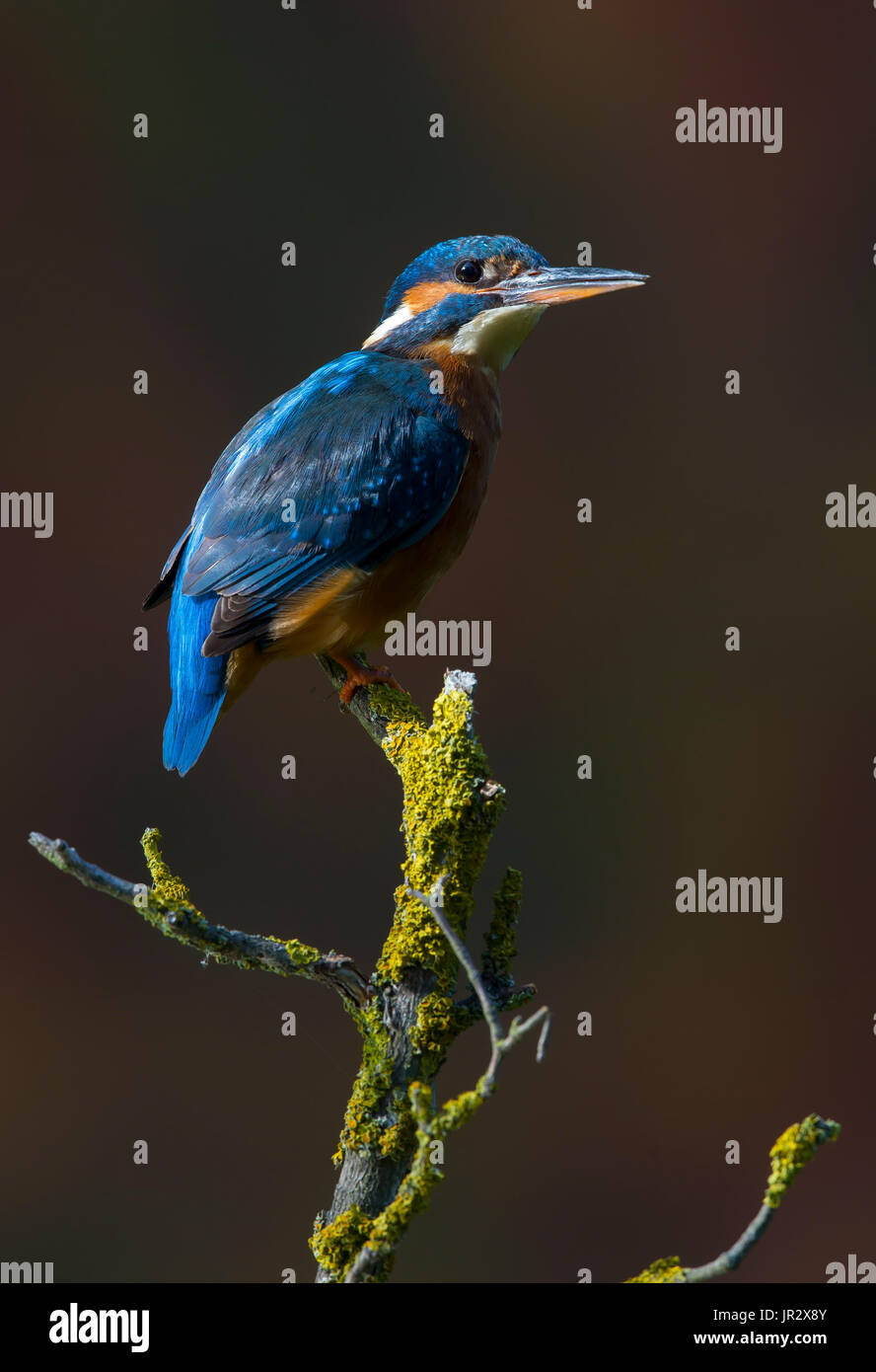 Female Common Kingfisher on a branch in summer - GB - Stock Image