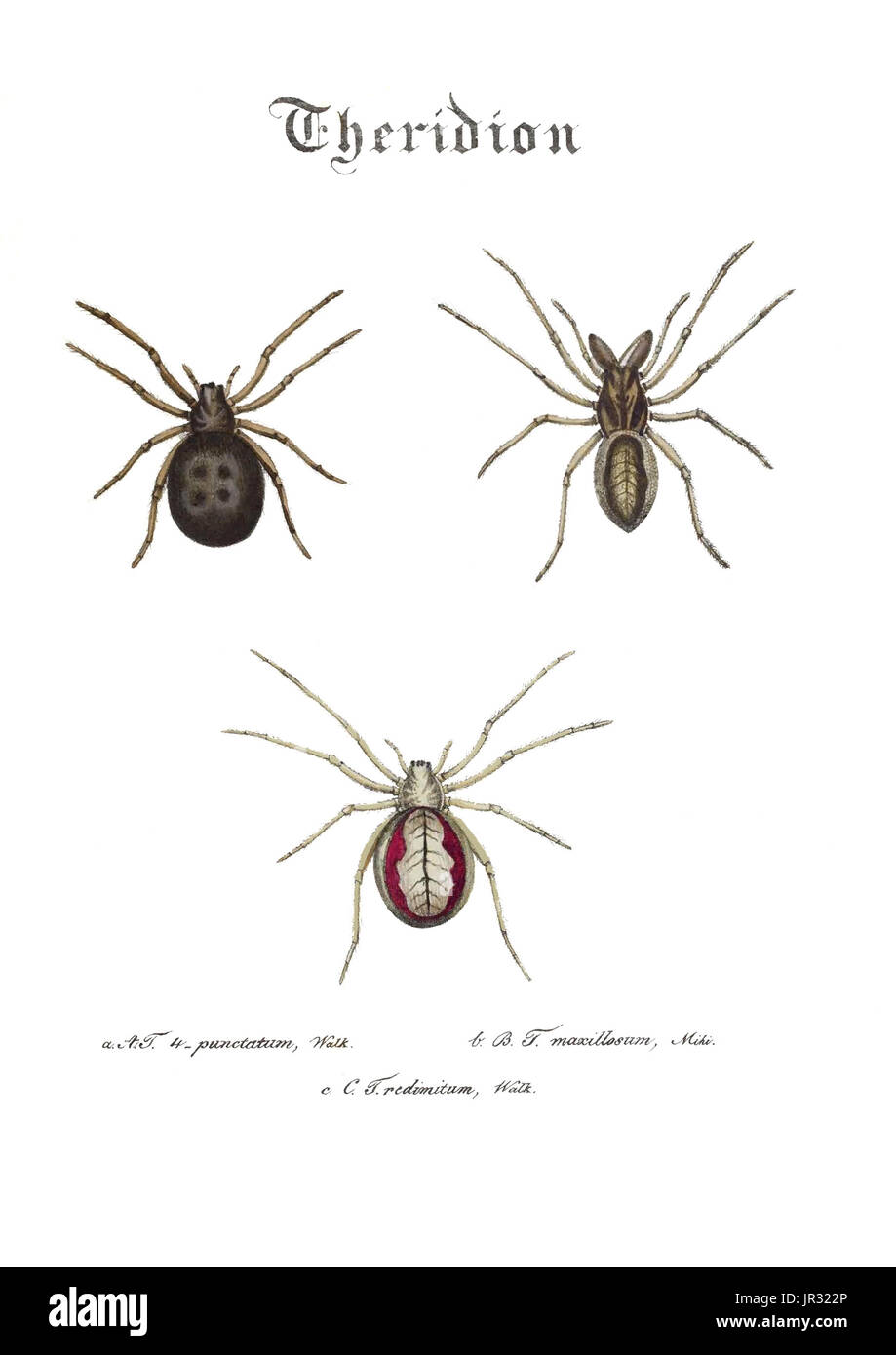 Spiders,Genus Theridion - Stock Image