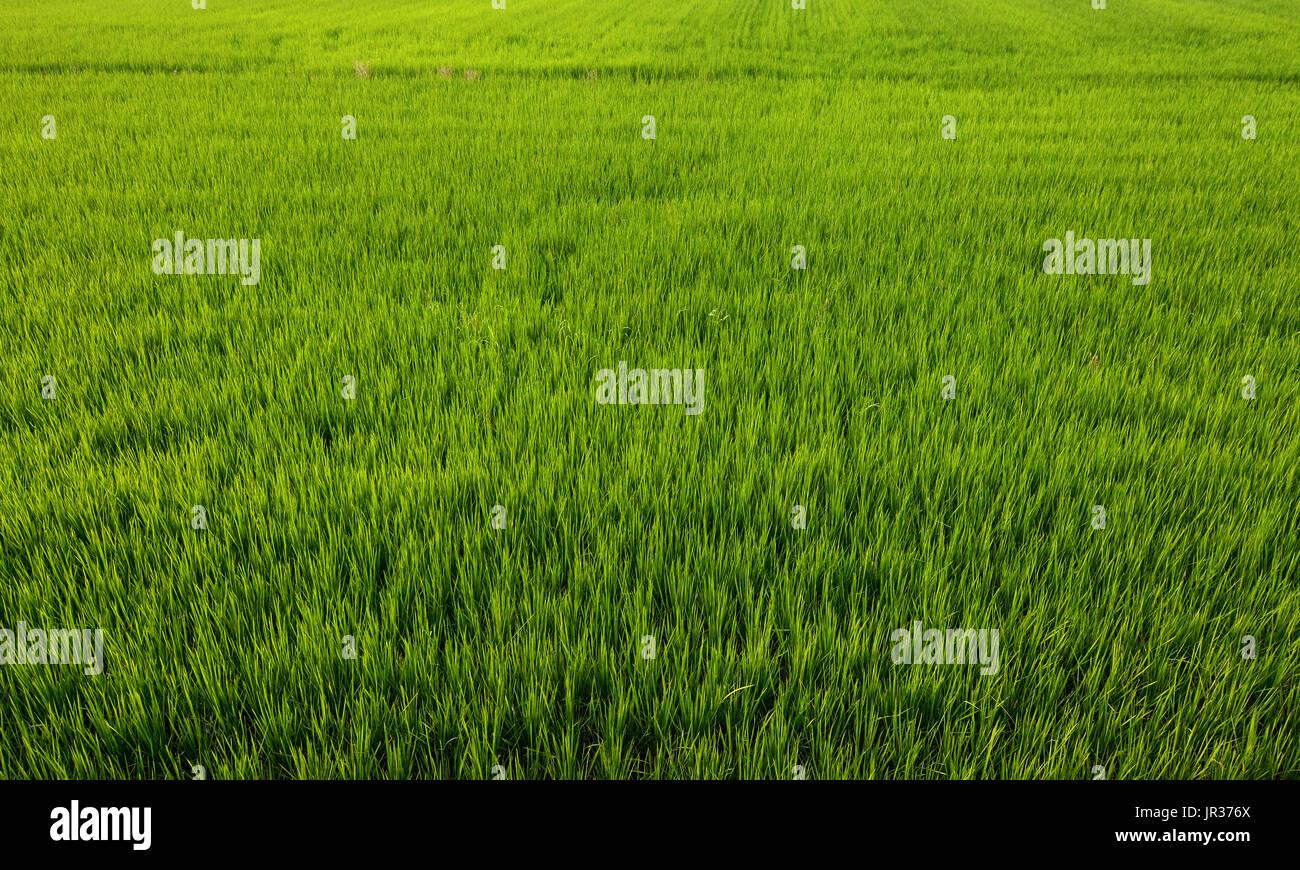 Taiwan Rice Paddy Stock Photos & Taiwan Rice Paddy Stock