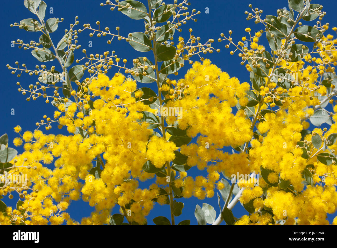 Blue leaf wattle acacia stock photos blue leaf wattle acacia stock native cootamundra wattle acacia yellow flowers on tree against blue sky stock image mightylinksfo