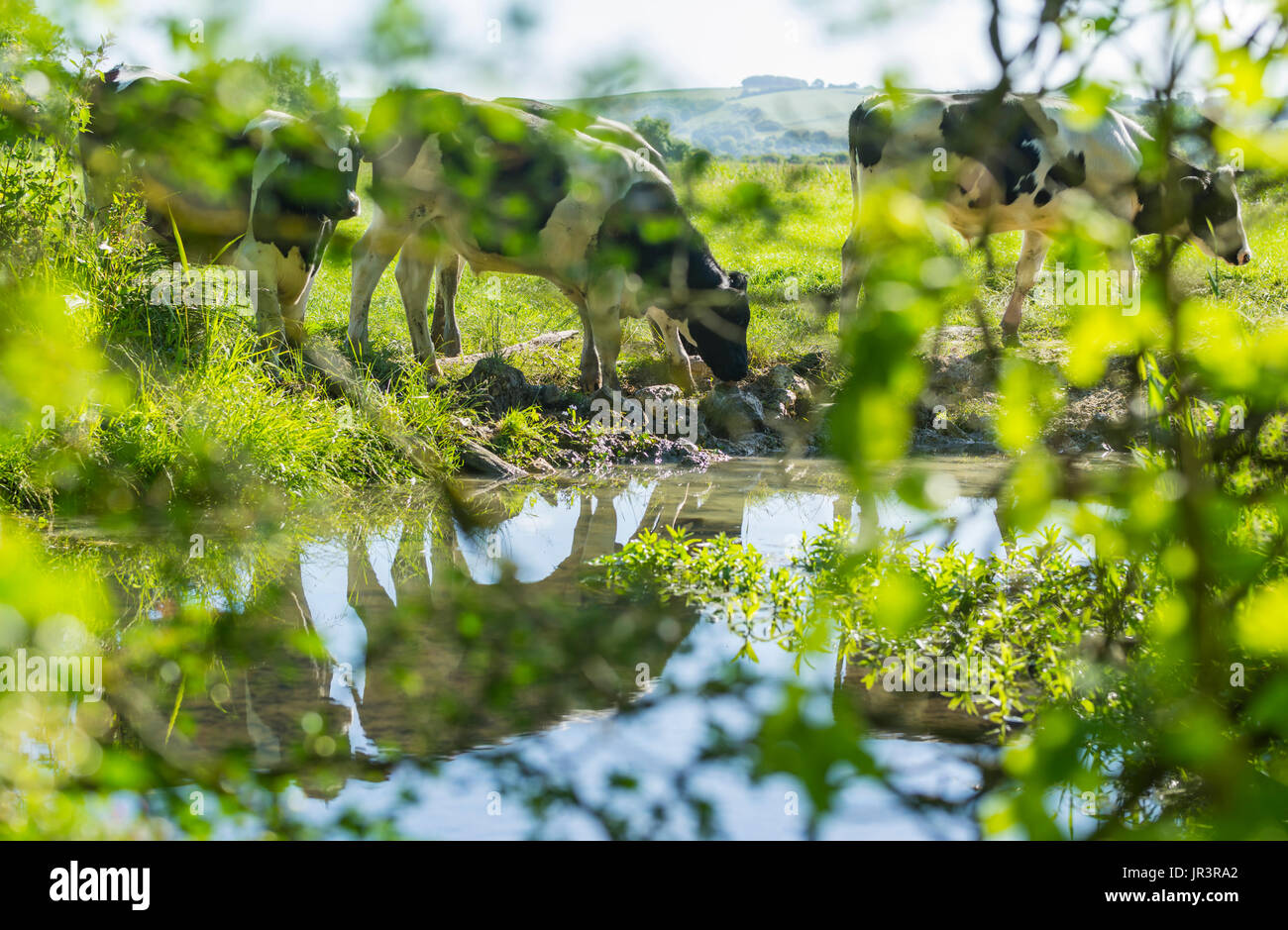 Cows grazing. Black and white cows eating grass in a field with their reflections in water. Cow grazing. Reflecting in water. - Stock Image