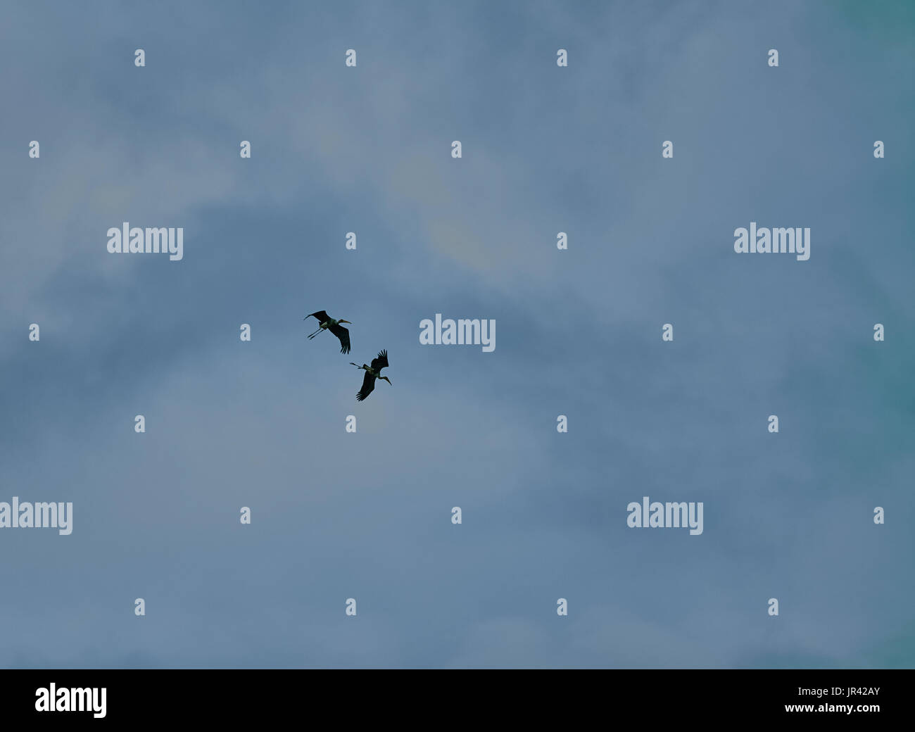 Very Large Adult Bird Painted stork flying with full wings expanded in blue sky - Stock Image