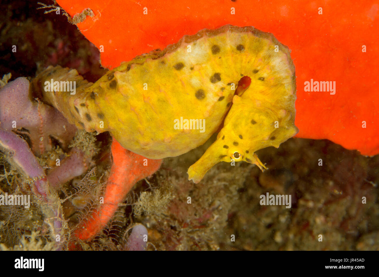 Female pot-bellied seahorse, Hippocampus abdominalis at The Leap, Kurnell, New South Wales, Australia. Depth: 12.6 m. - Stock Image
