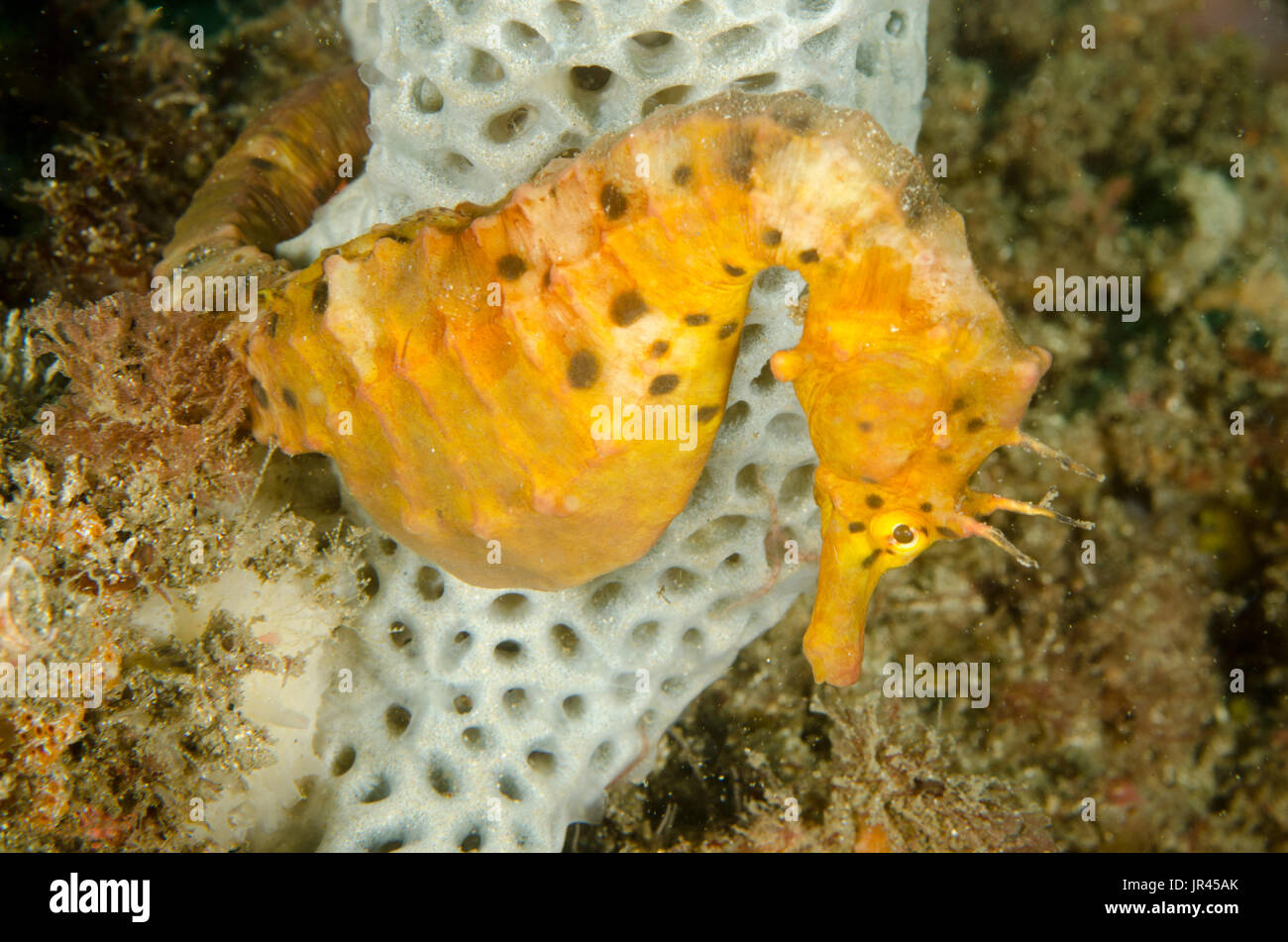 Female pot-bellied seahorse, Hippocampus abdominalis at The Steps, Kurnell, New South Wales, Australia. Depth:  13.7m. - Stock Image