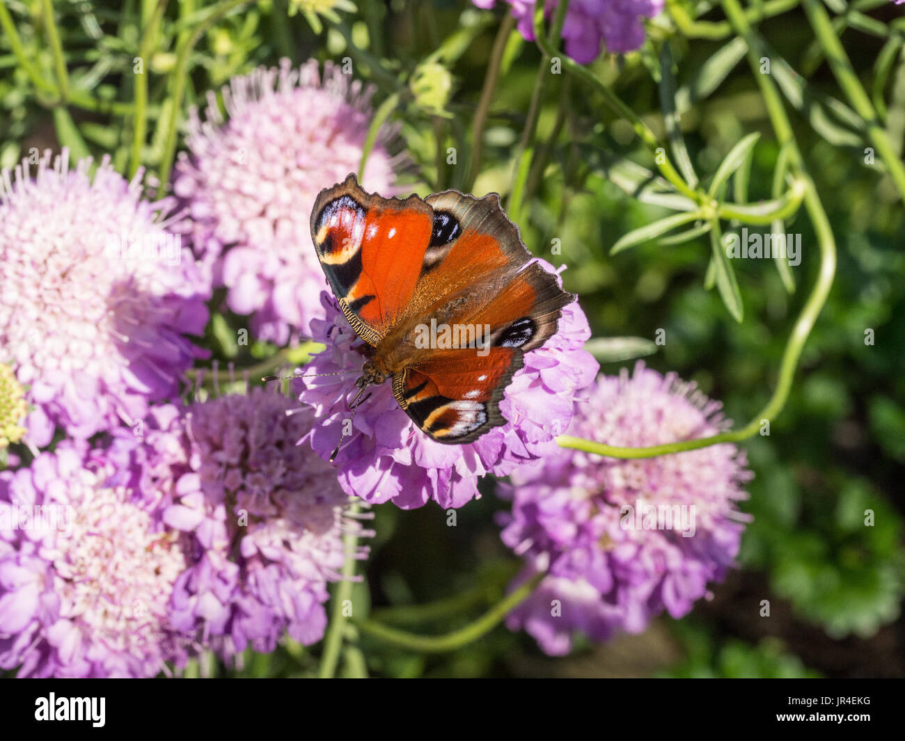 Peacock butterfly feeding on Scabious flowers - Stock Image
