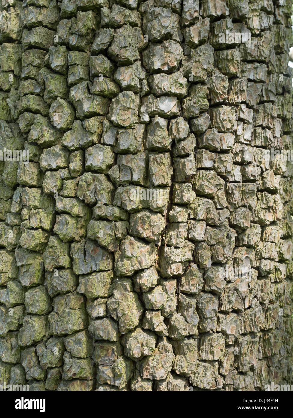 Close up of the blocky bark of a mature pear tree - Stock Image