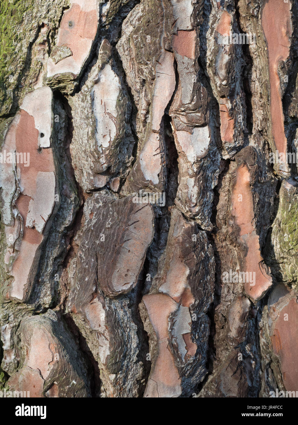 Close up of the deeply fissure bark of Pinus pinaster - Stock Image