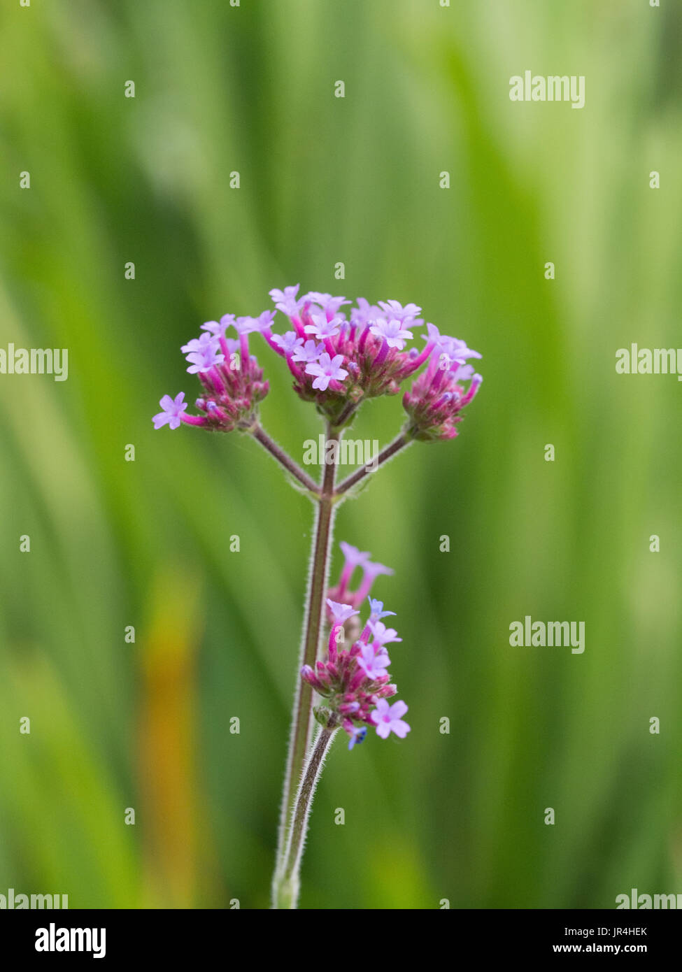 Tall Flowering Perennial Stock Photos Tall Flowering Perennial