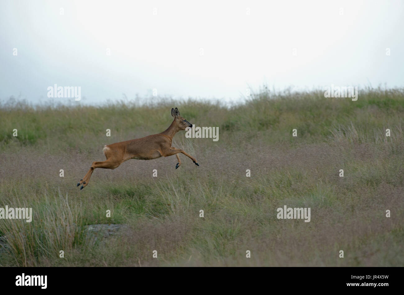 Roe Deer (doe)-Capreolus capreolus, also known as the western Roe Deer runs. Uk - Stock Image
