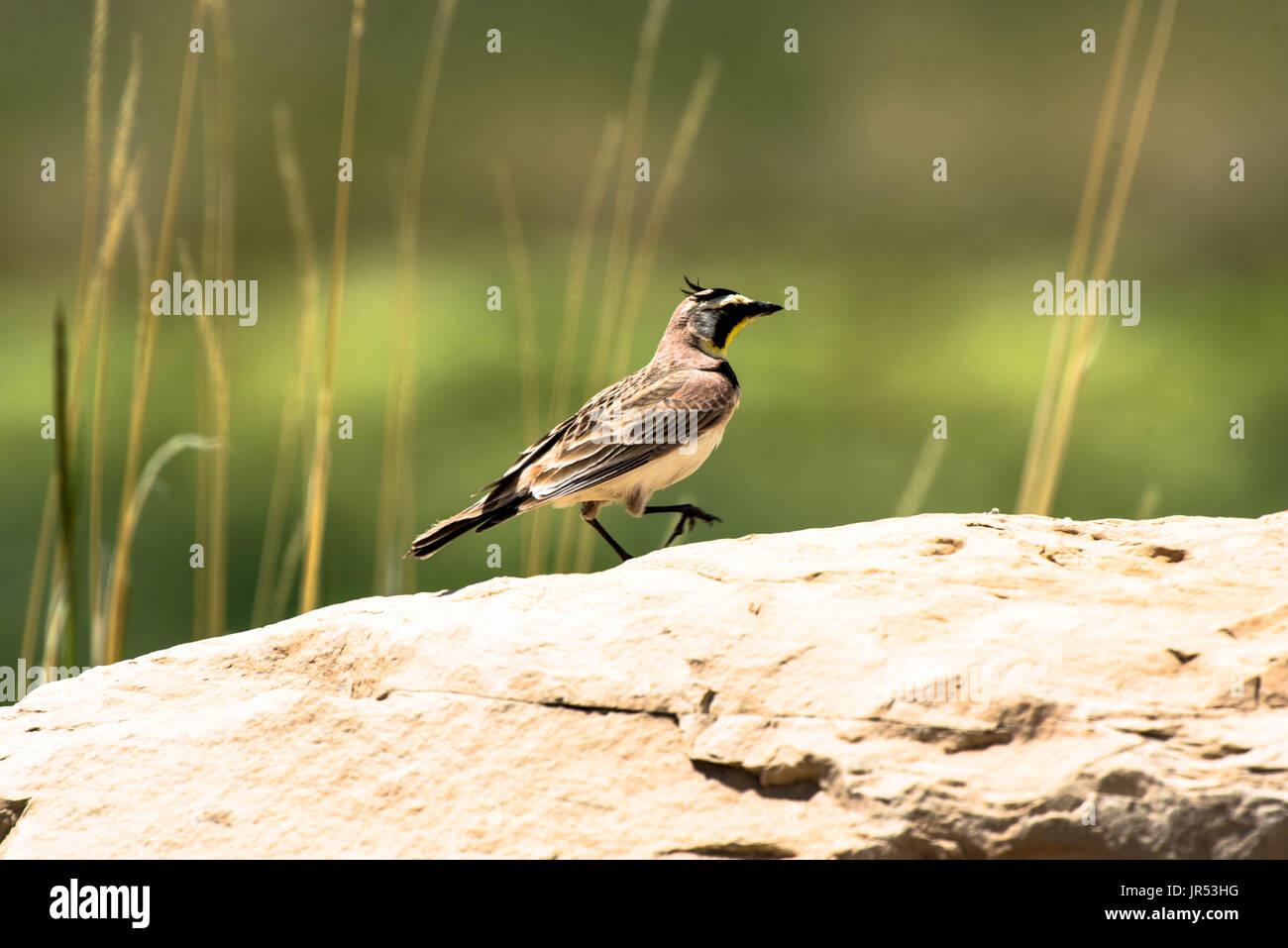 Western Meadowlark on a Rock Stock Photo