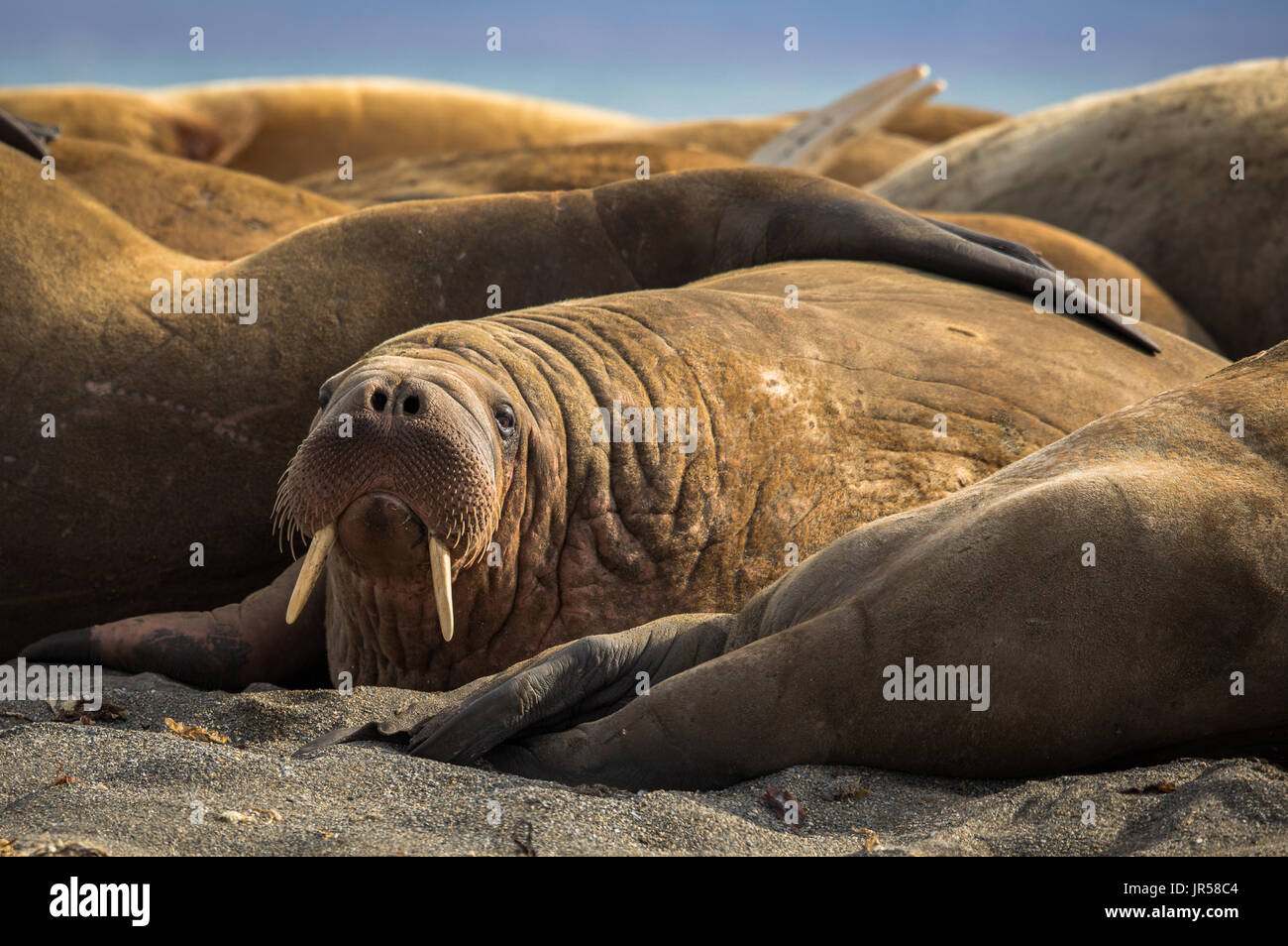 Walrus in a group of walruses on Prins Karls Forland, Svalbard Stock Photo