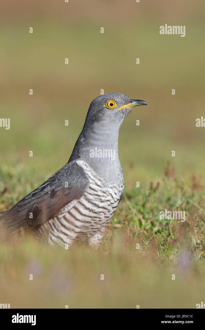 Common cuckoo sat on the ground - Stock Image