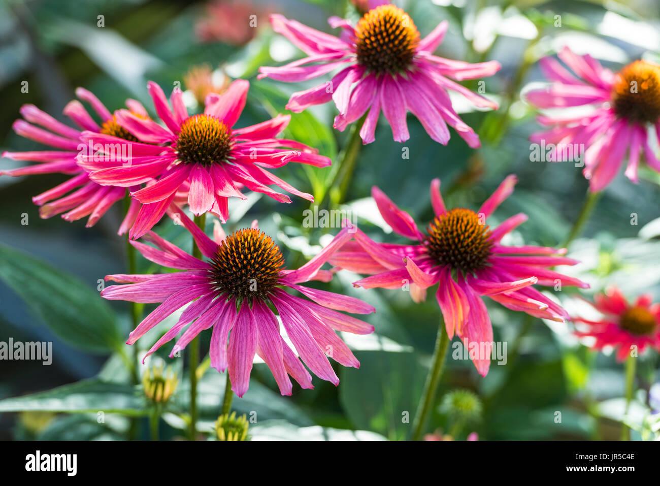 Echinace Mama Mia, Asterace. - Stock Image