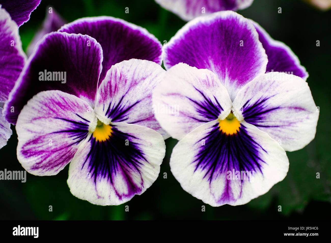 Two violet pansies in the garden. Close-up. - Stock Image