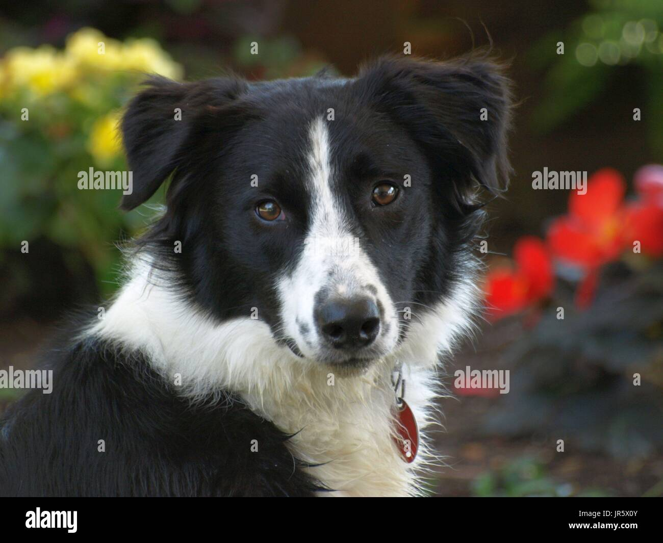 Black and white Border Collie dog with amber eyes close up shots - Stock Image