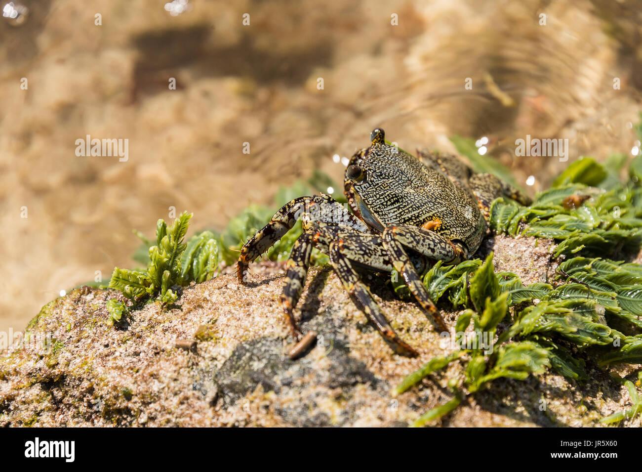 Zagaia (Grapsus sp.) sea crab on a rock in Martinique, Carribean. - Stock Image