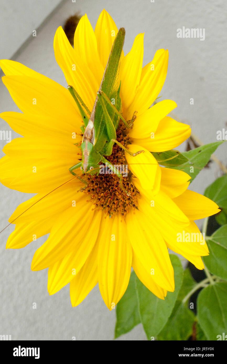 Grünes Heupferd, Heuschrecke Laubheuschrecke auf gelber Sonnenblume - Stock Image
