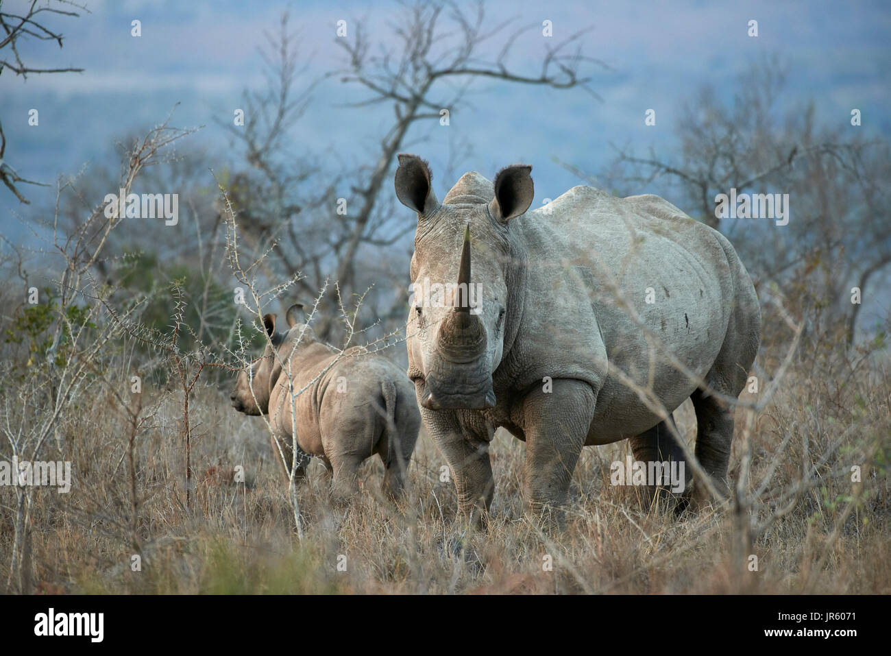 Square lipped Rhino (white) (Ceratotherium simum) - mother and calf standing in the African bushveld at dusk - Stock Image
