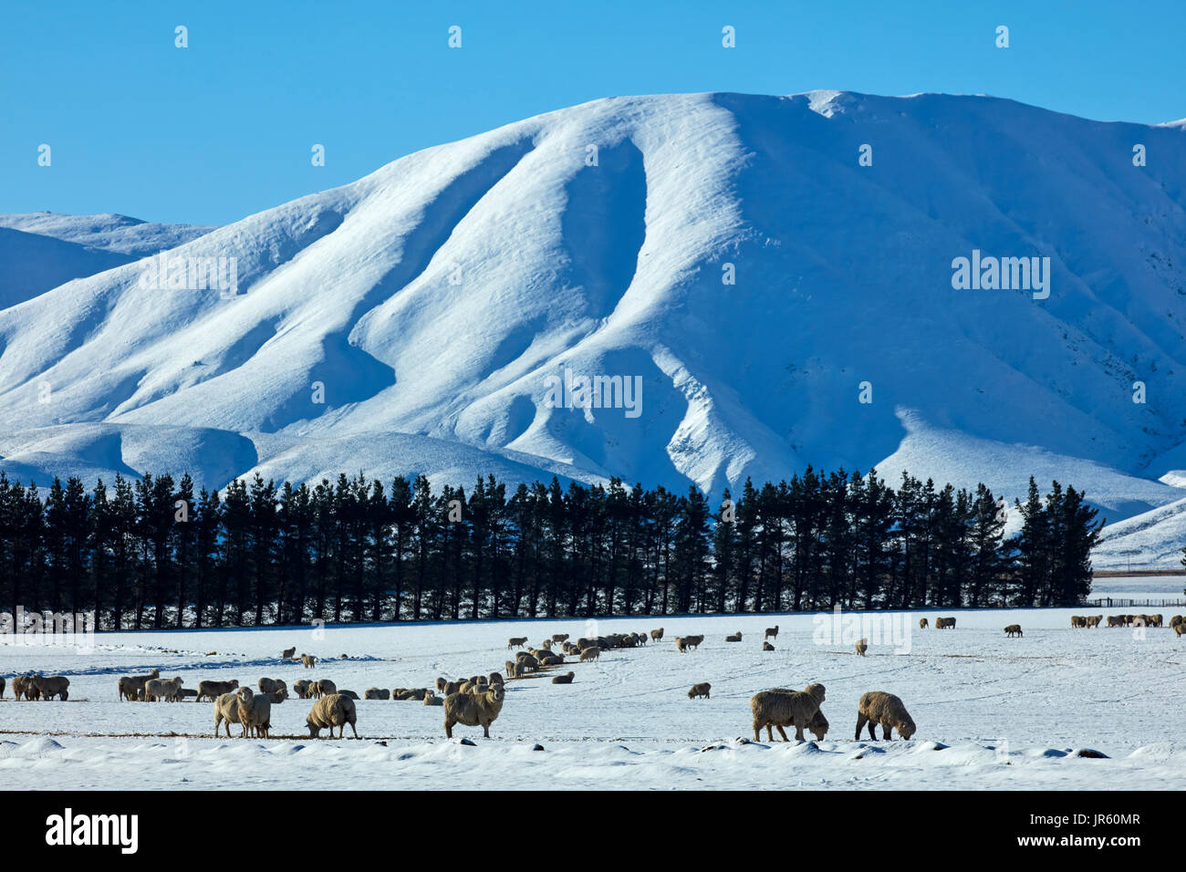 Sheep, Hawkdun Range and snowy farmland, near Oturehua, Maniototo, Central Otago, South Island, New Zealand - Stock Image
