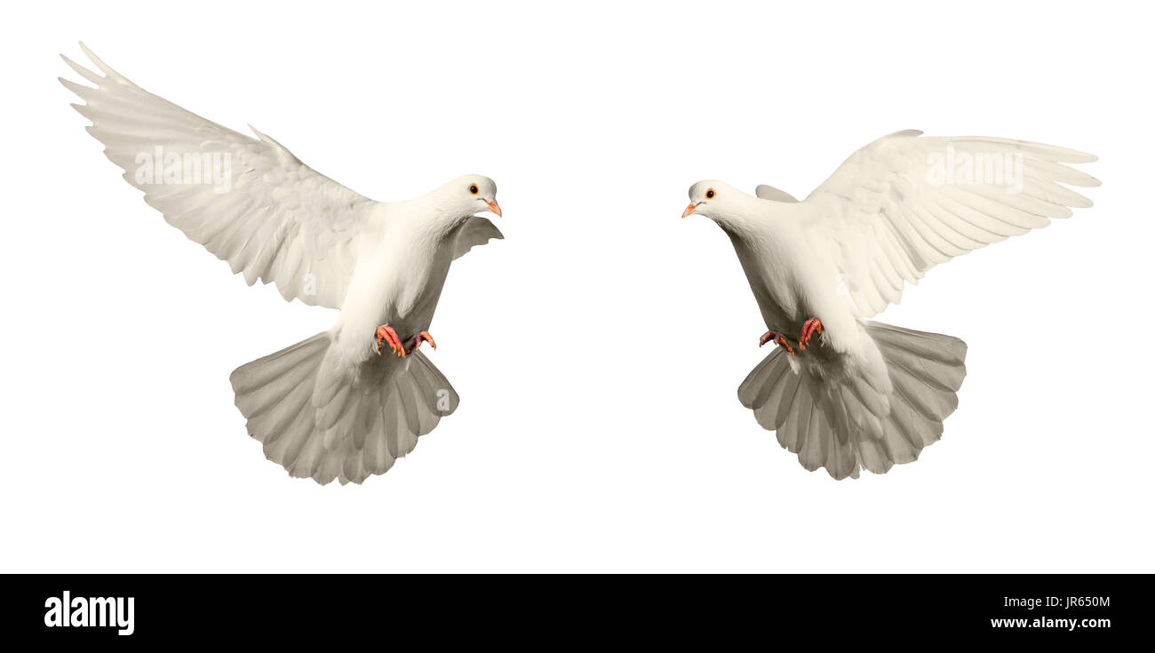 Symbol Of Purity And Love Of Two White Pigeons Bird Of Peace Stock