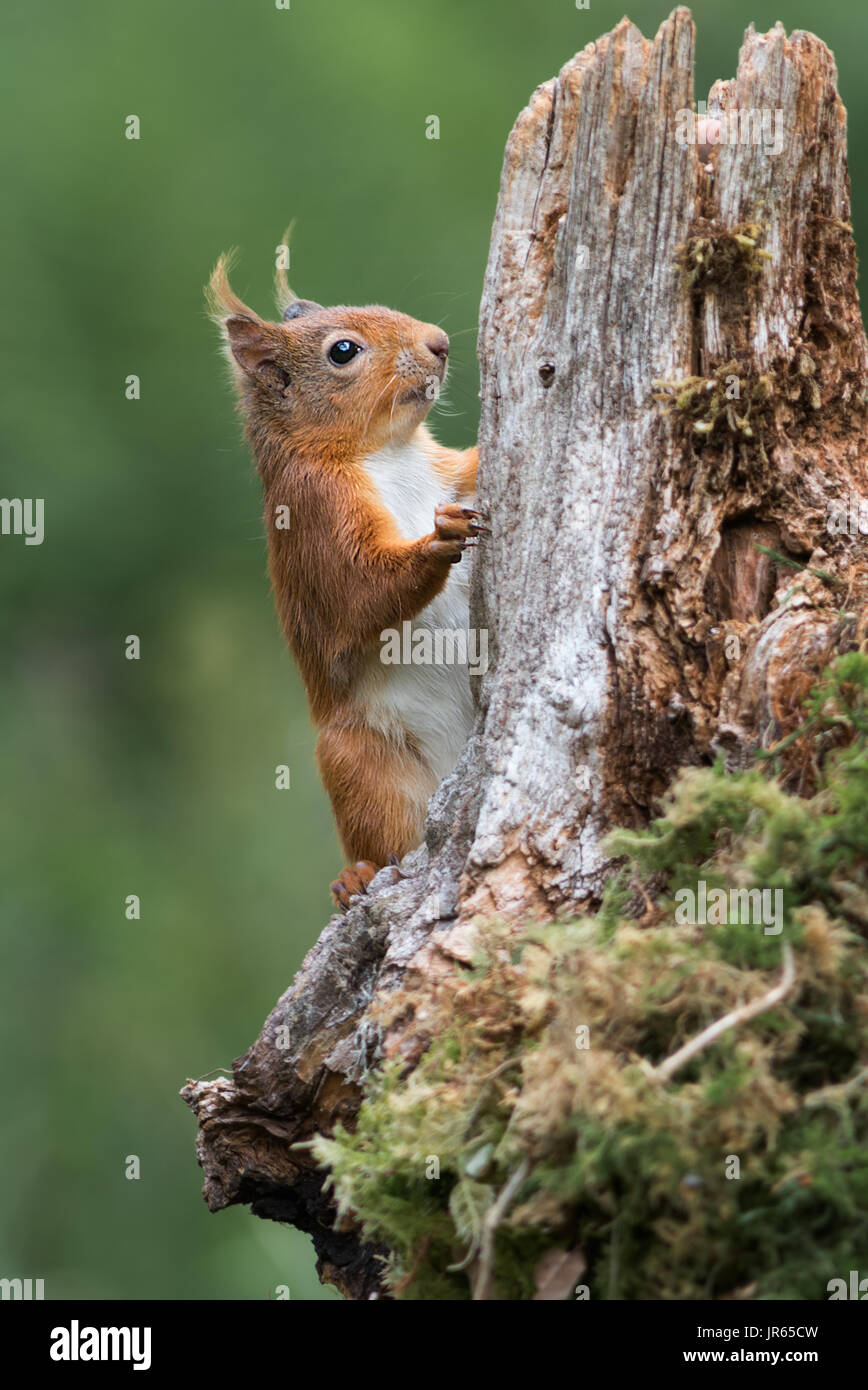 Detailed study close photograph or a red squirrel climbing up an old log tree in upright vertical format - Stock Image