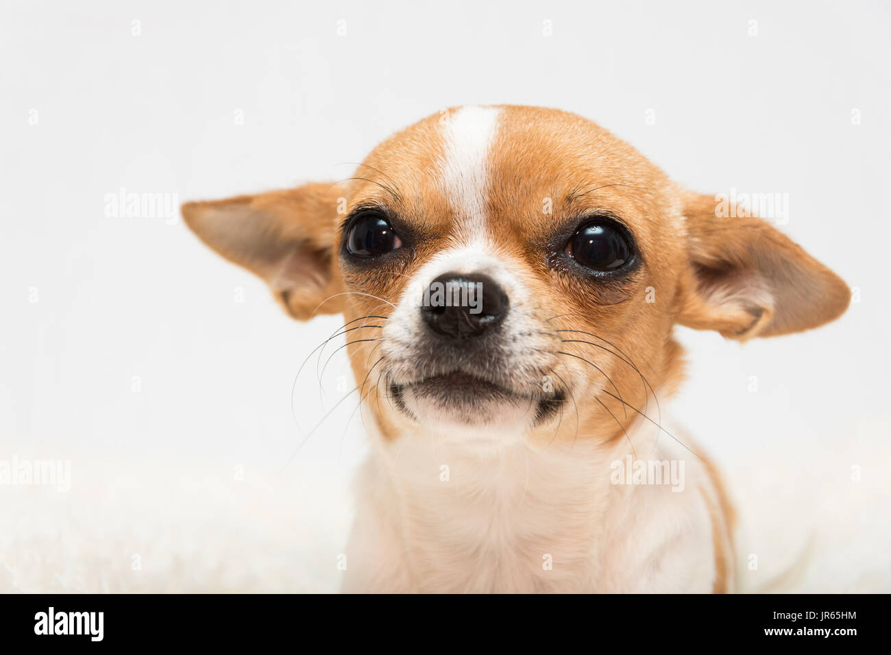 Cute Tan And White Chihuahua Puppy On A White Background Stock Photo Alamy