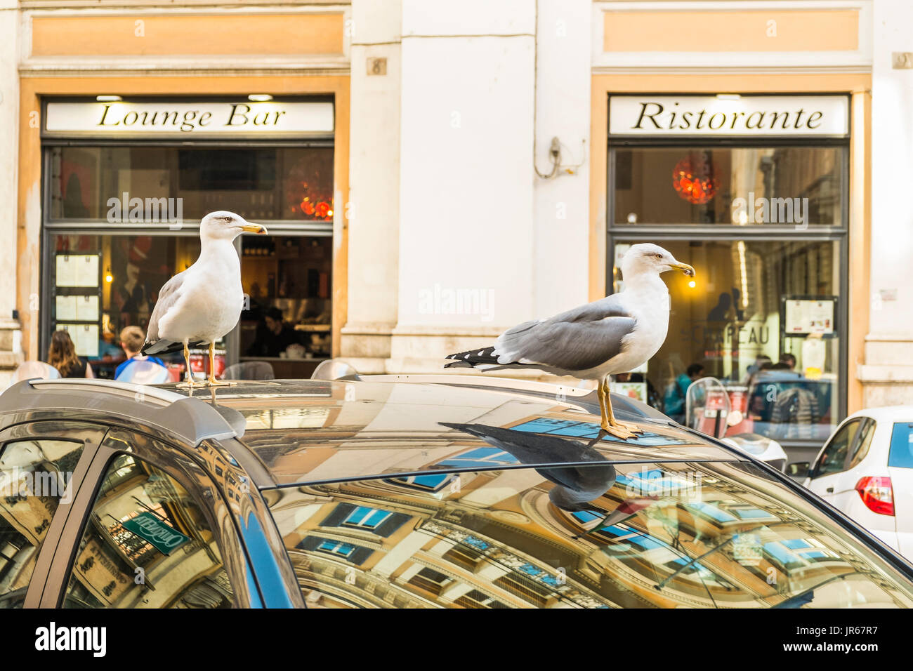 two seagulls resting on the roof of a car  withe the windows of a restaurant, lounge bar in the background - Stock Image