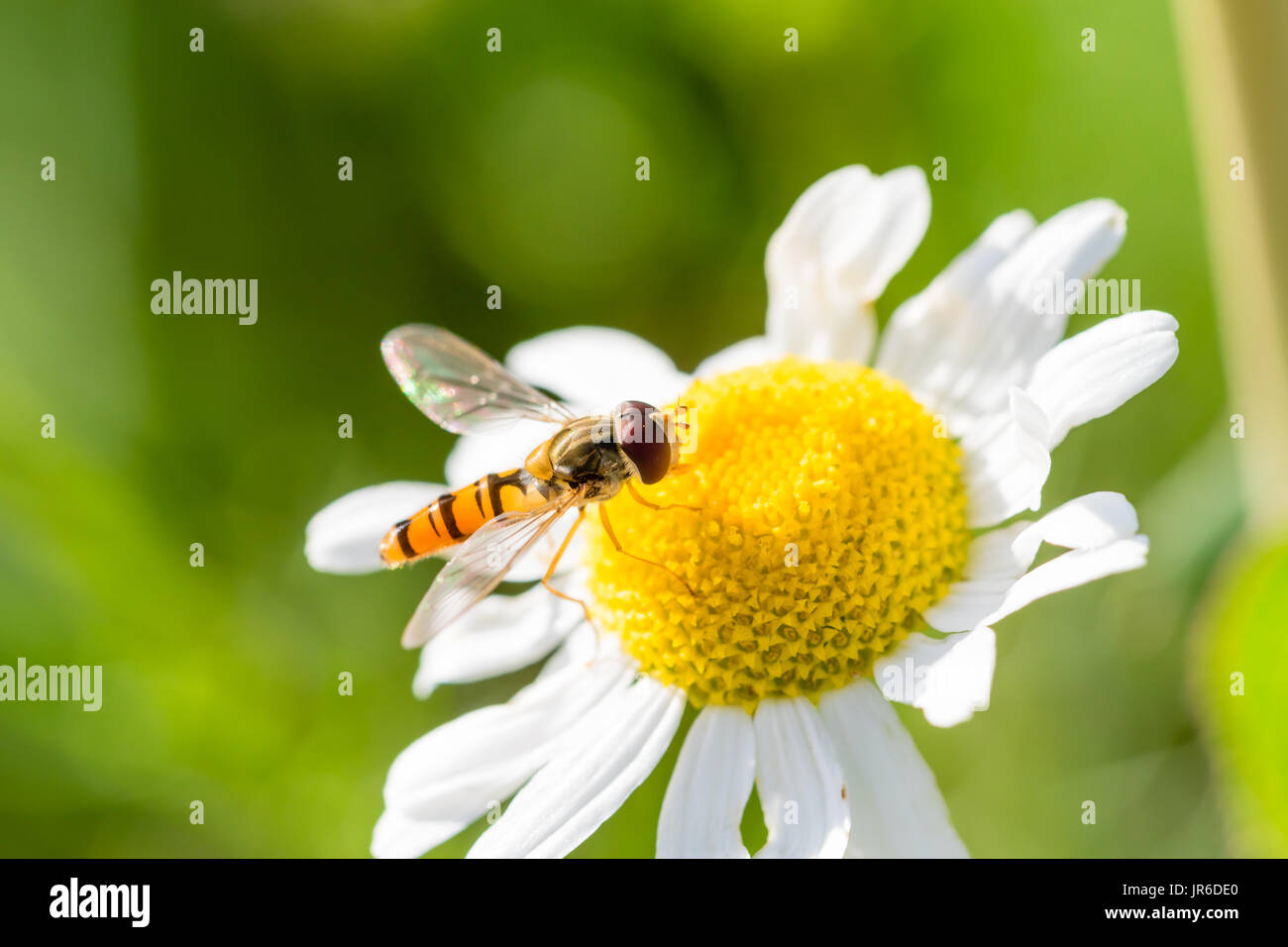 Small Wasp Just Landed On Small White Flower With Yellow Center