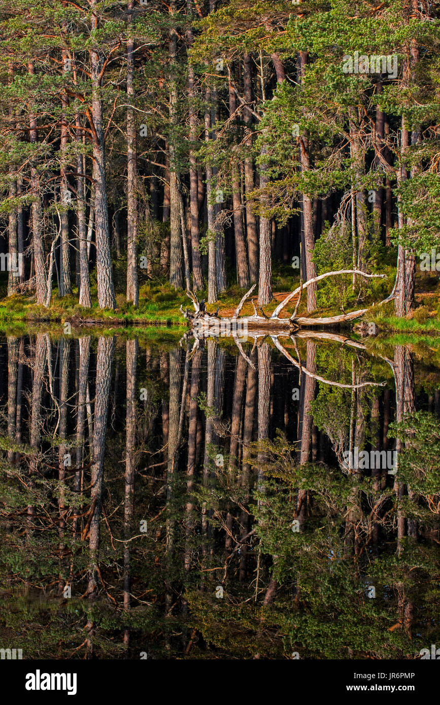 Scots pine trees on the shore of Loch Garten, reflected in water, Abernethy Forest, remnant of the Caledonian Forest in Strathspey, Scotland, UK - Stock Image