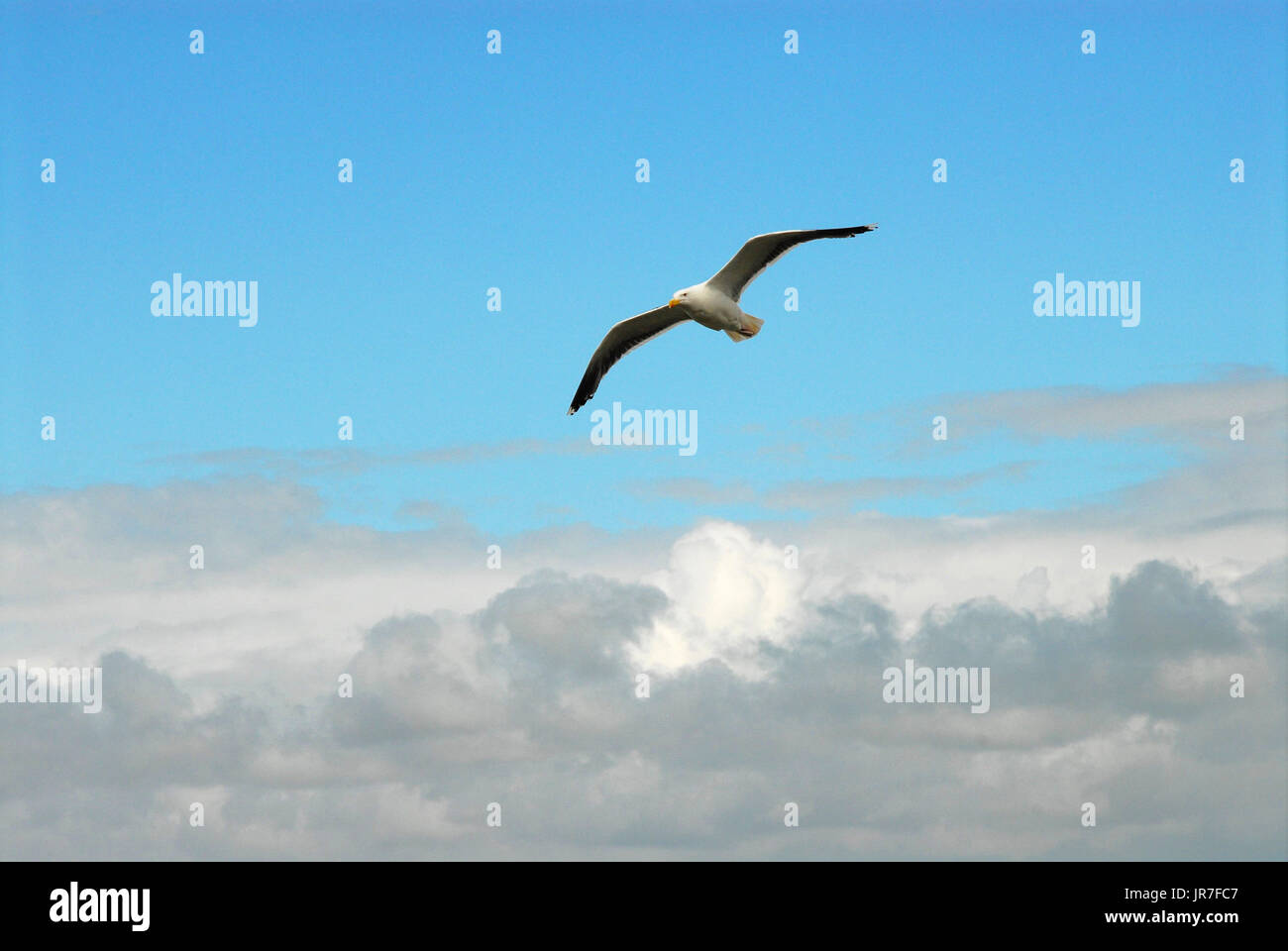 Chesil Beach, Dorset. 04th Aug, 2017. UK Weather: A seagull soars in front of a mix of rain clouds and blue sky on a day of sunny spells for the Isle of Portland Credit: stuart fretwell/Alamy Live News - Stock Image