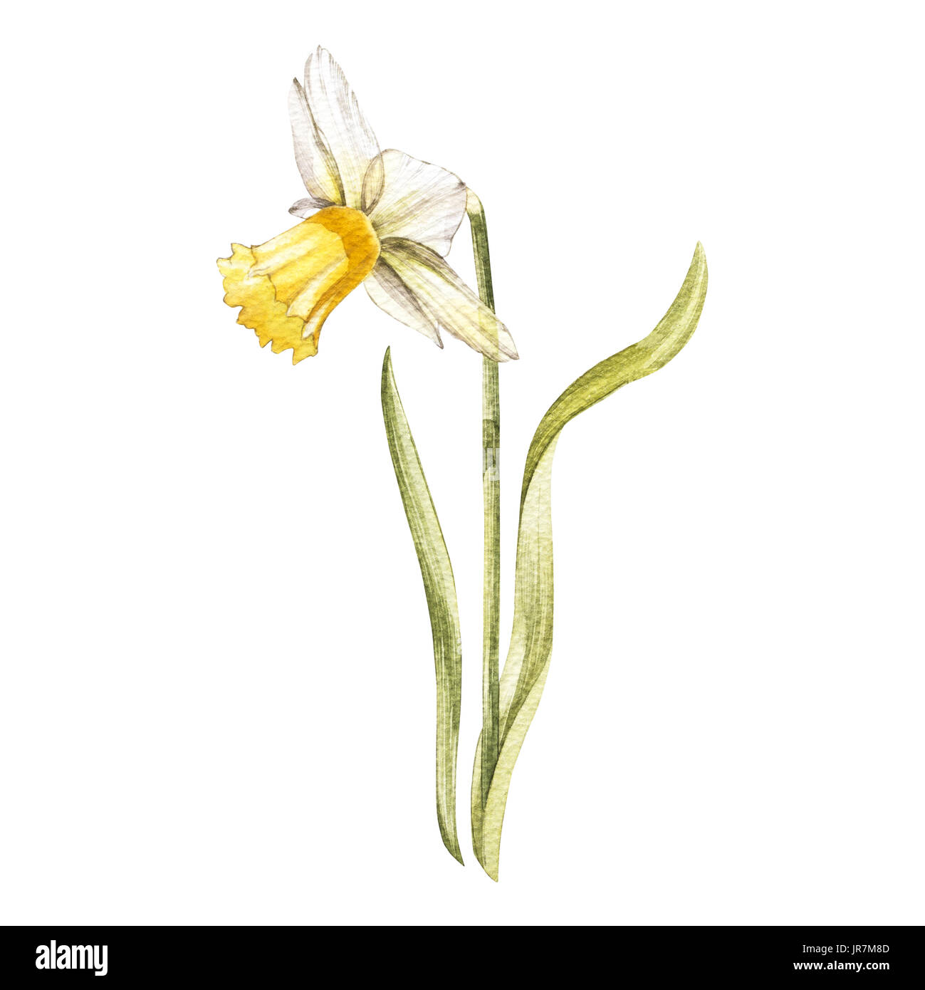 Illustration in watercolor of a Narcissus flower blossom. Floral card with flowers. Botanical illustration Stock Photo