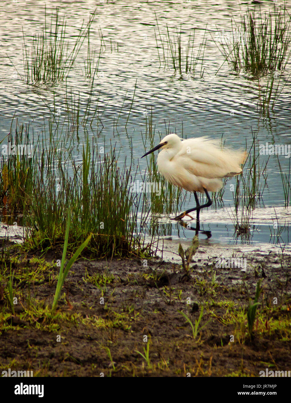 Little Egret rushing by - Stock Image