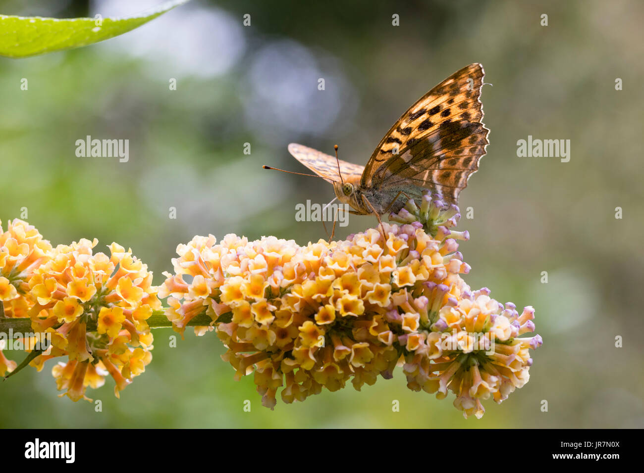 Silver washed fritillary butterfly, Argynnis paphia, feeding on the globular flower heads of the hardy hybrid shrub, Stock Photo