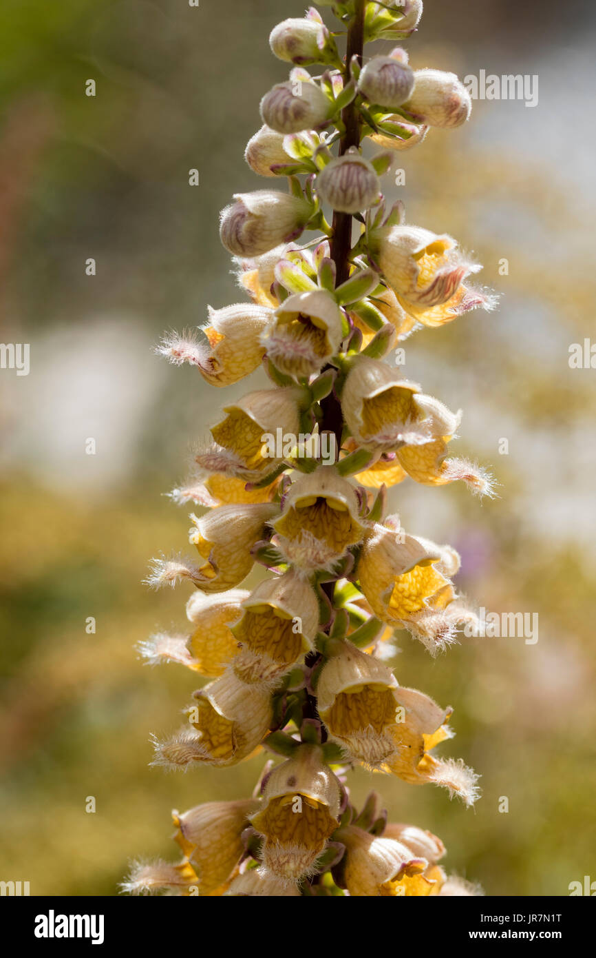 Flower spike studded with the brown flowers of the rusty foxglove, Digitalis ferruginea - Stock Image
